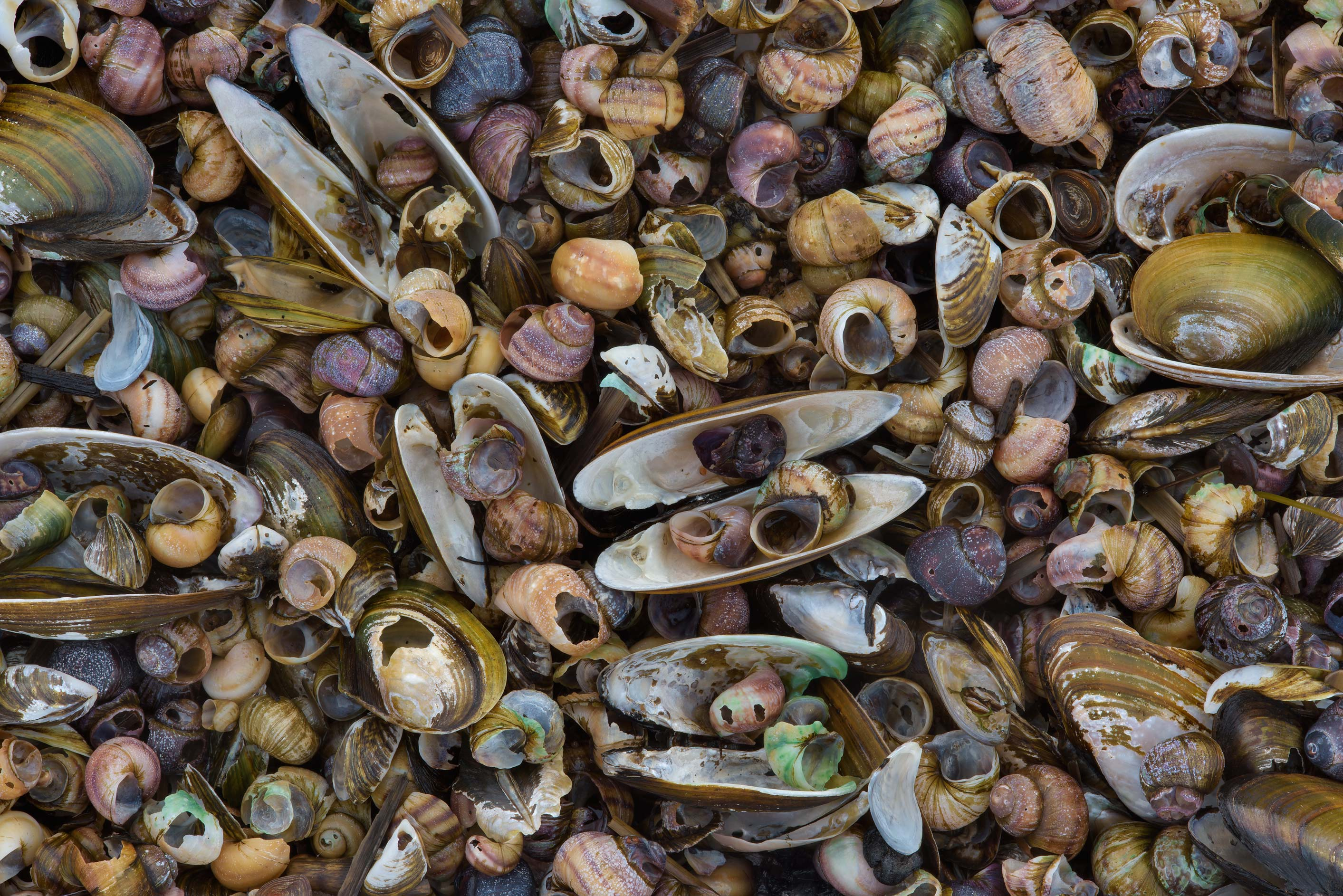 Shells of freshwater mussels and snails on a...west from St.Petersburg. Russia