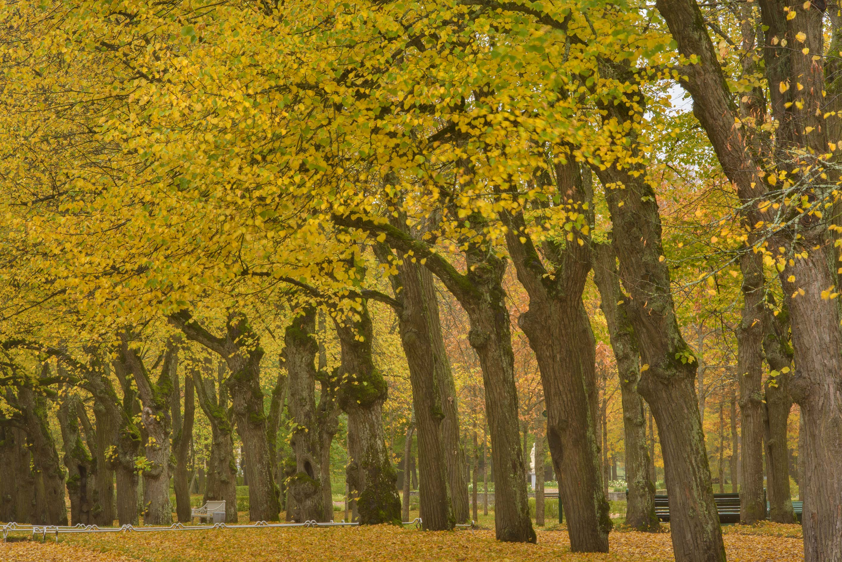 Linden trees of 4-th Parade Alley in Pavlovsk...suburb of St.Petersburg, Russia