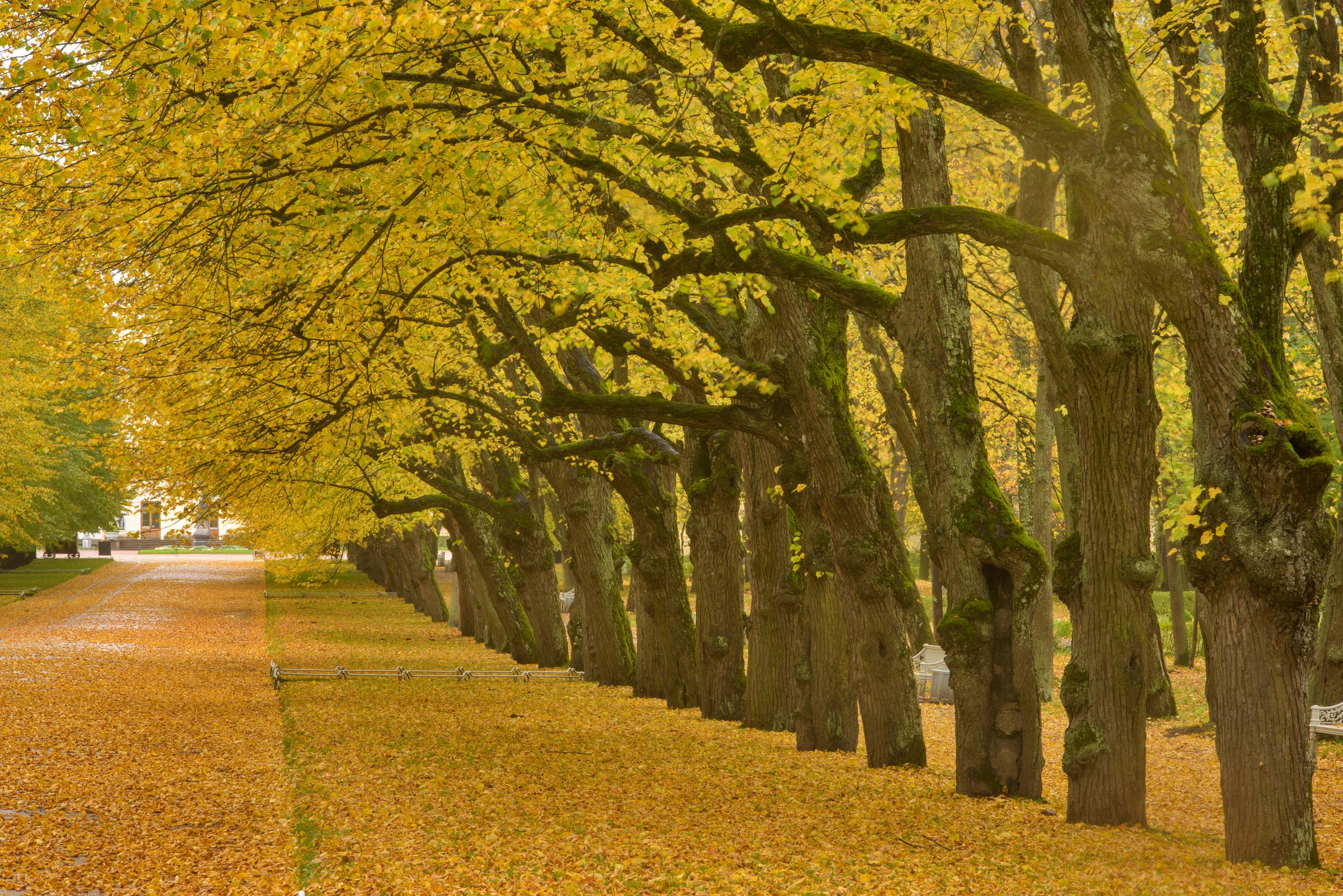 Fall colors of Triple Linden Alley in Pavlovsk...suburb of St.Petersburg, Russia