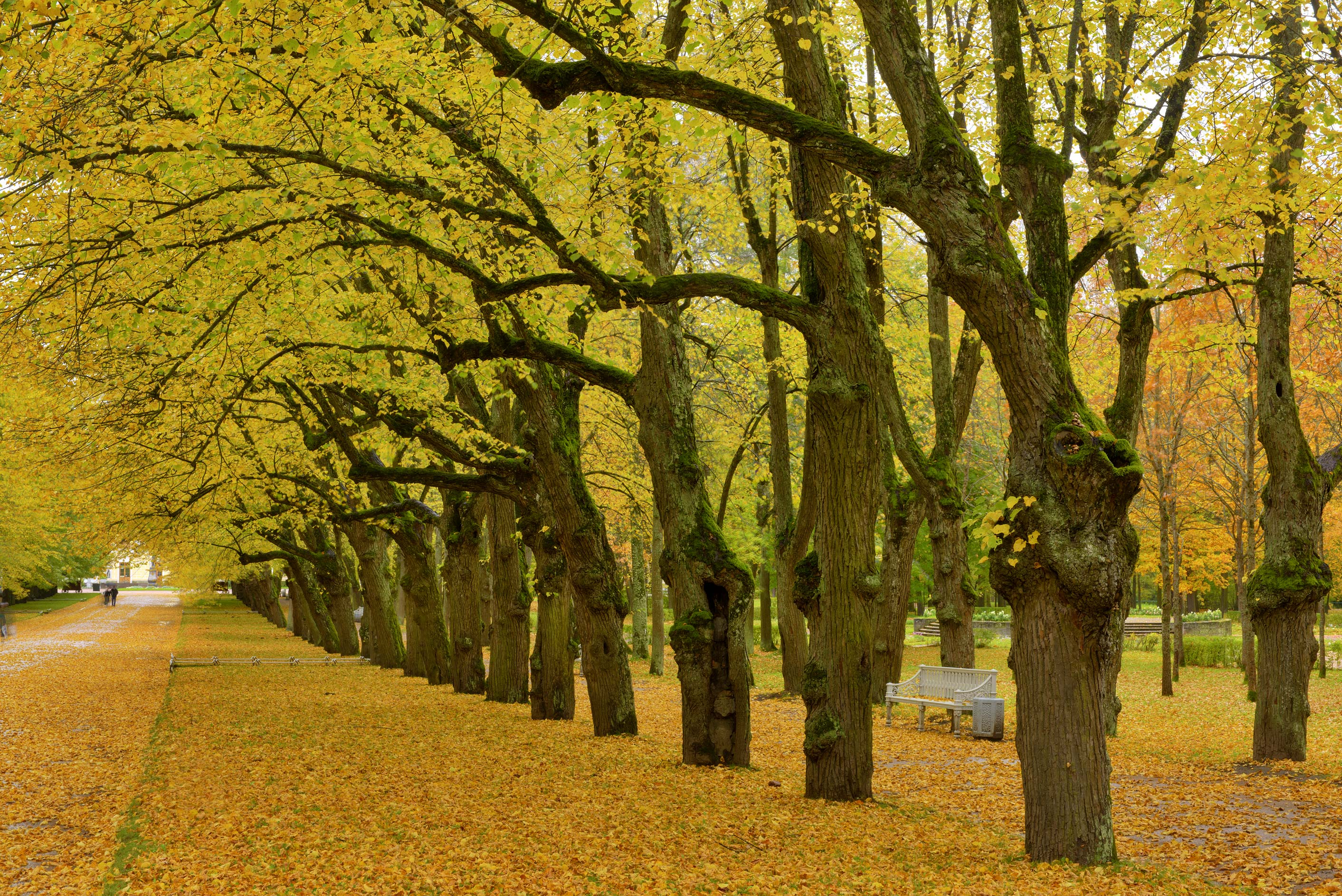 Yellow leaves on Triple Linden Alley in Pavlovsk...suburb of St.Petersburg, Russia