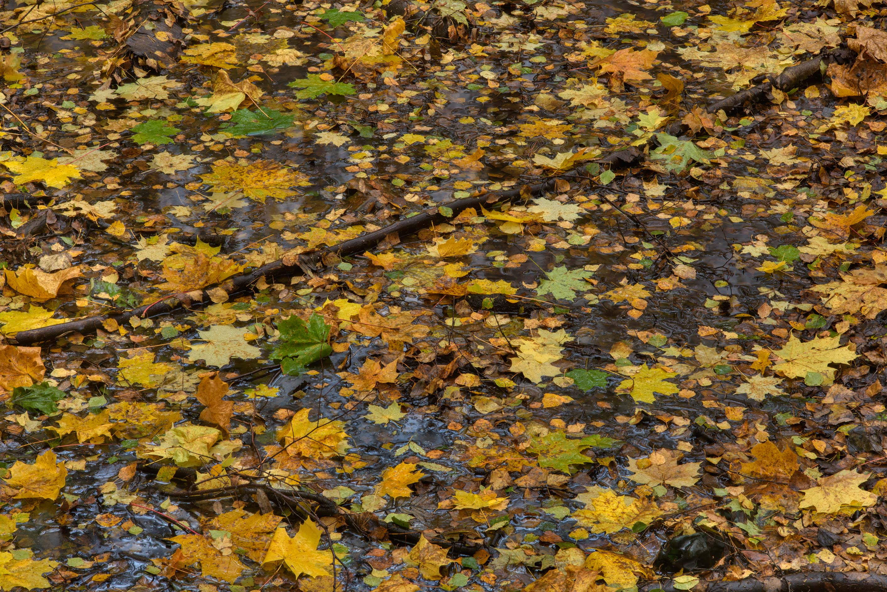 Leaves in a pool of water in Sosnovka Park. St.Petersburg, Russia