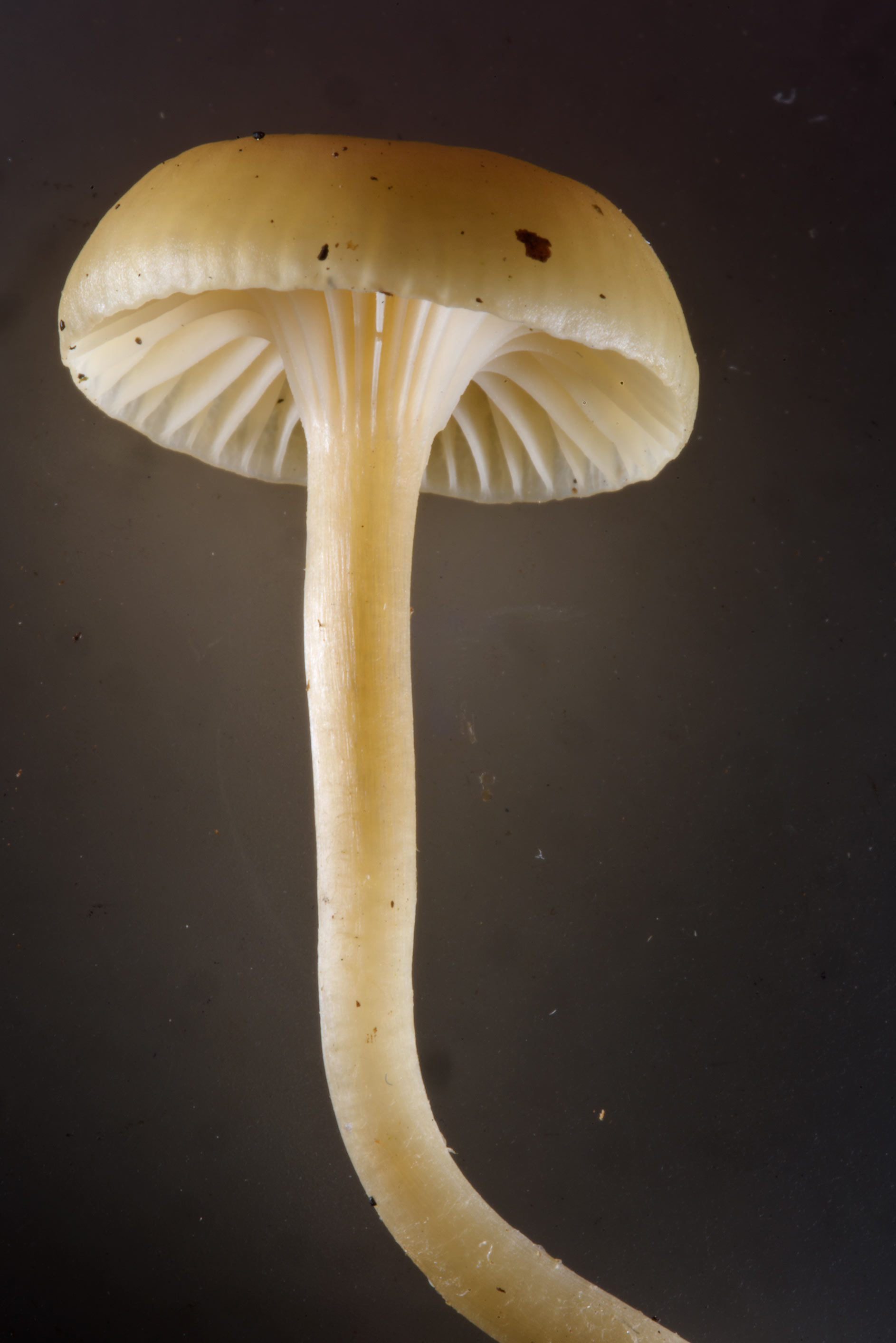 Close up of waxcap mushroom Hygrocybe virgineus...Nos, west from St.Petersburg. Russia