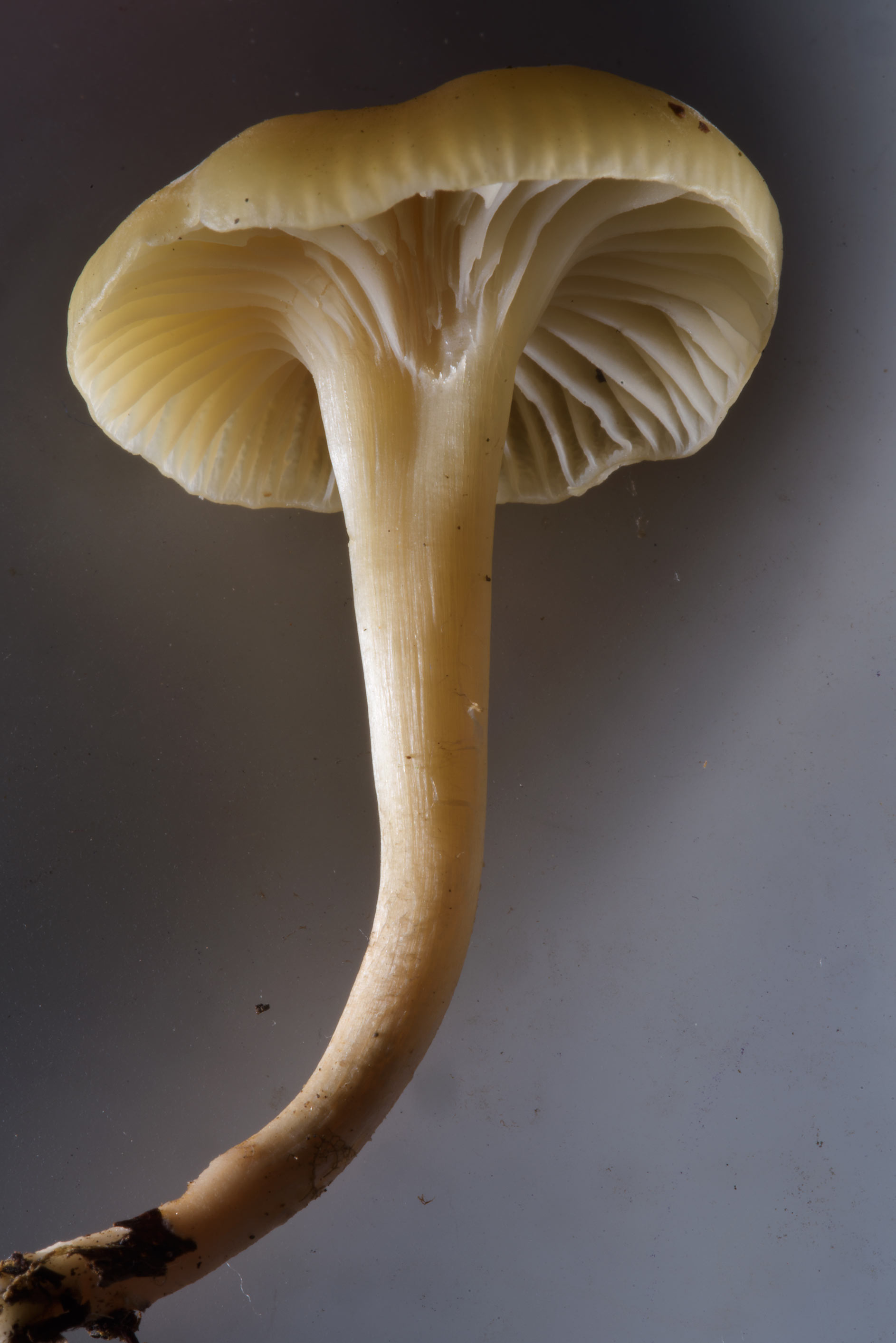 Close up of light colored waxcap mushroom...Nos, west from St.Petersburg. Russia