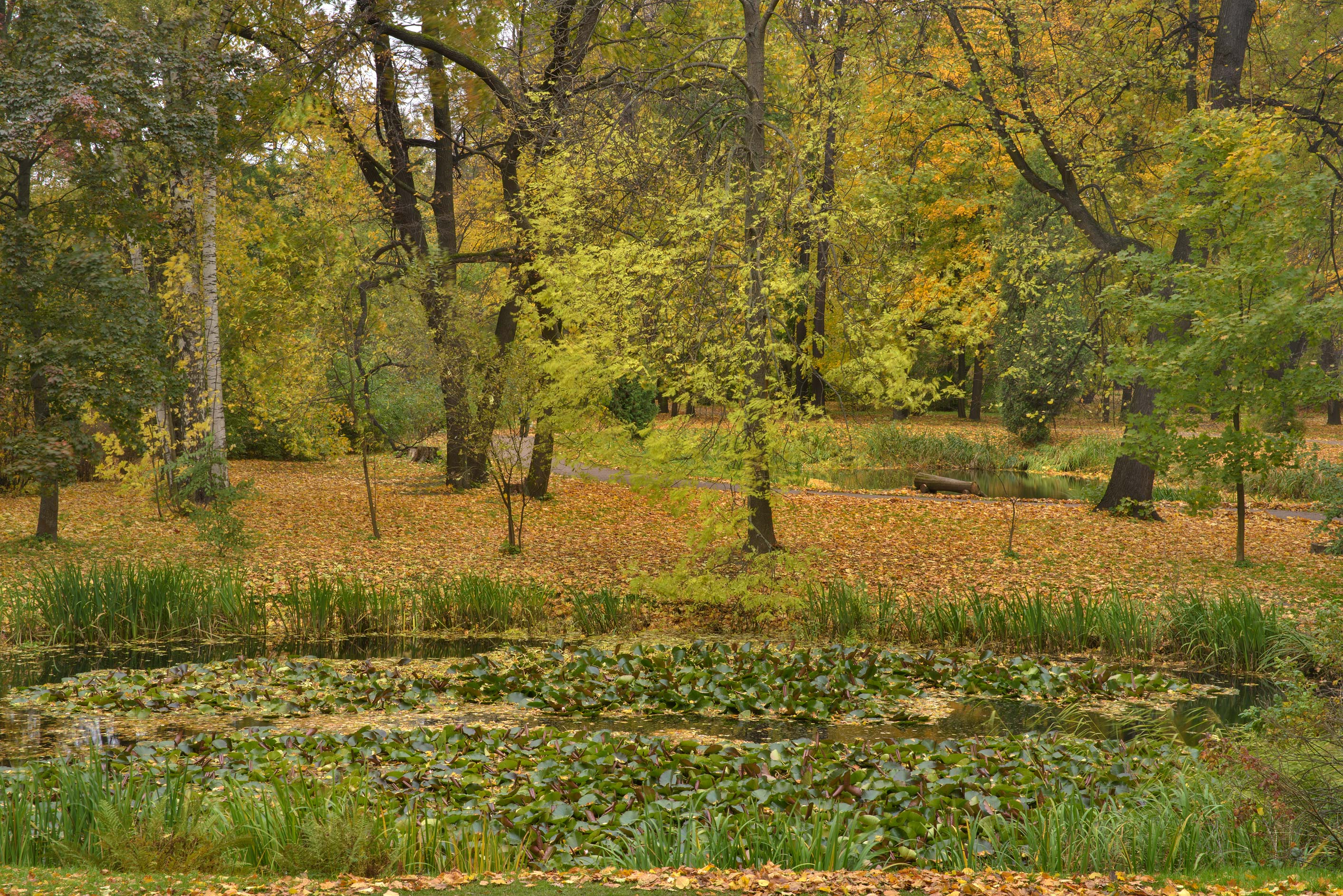 Yellow leaves around a pond in Botanic Gardens of...Institute. St.Petersburg, Russia