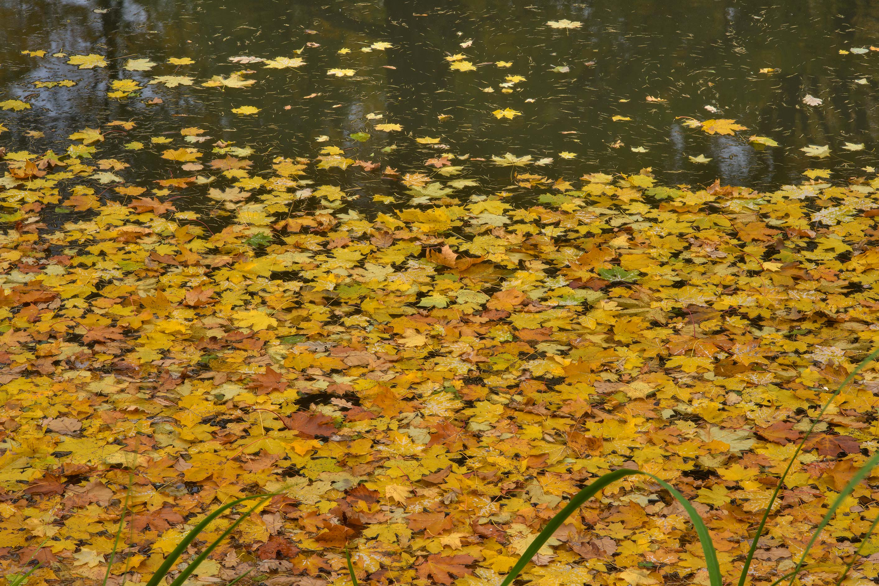 Yellow leaves in a pond in Botanic Gardens of...Institute. St.Petersburg, Russia