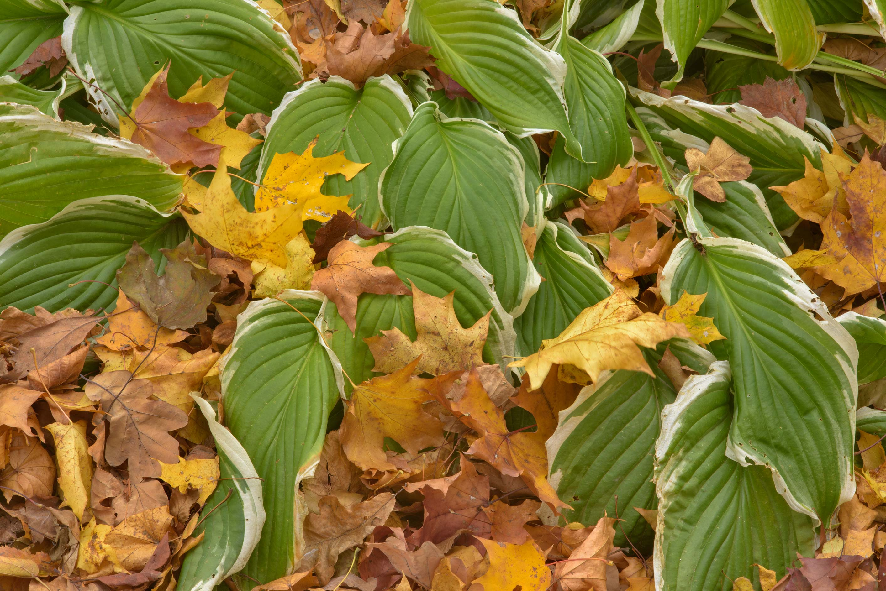 Leaves of plantain lily (hosta) in Botanic...Institute. St.Petersburg, Russia
