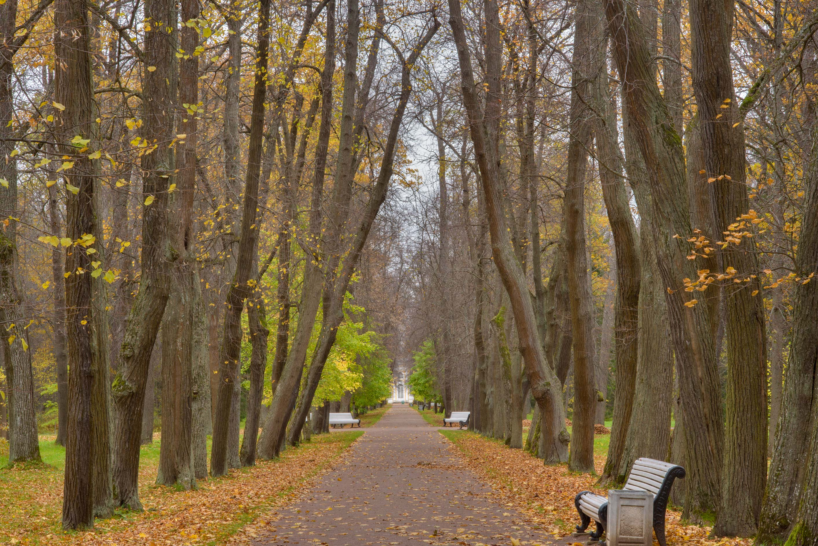 Linden Alley in Lomonosov (Oranienbaum). West from St.Petersburg, Russia