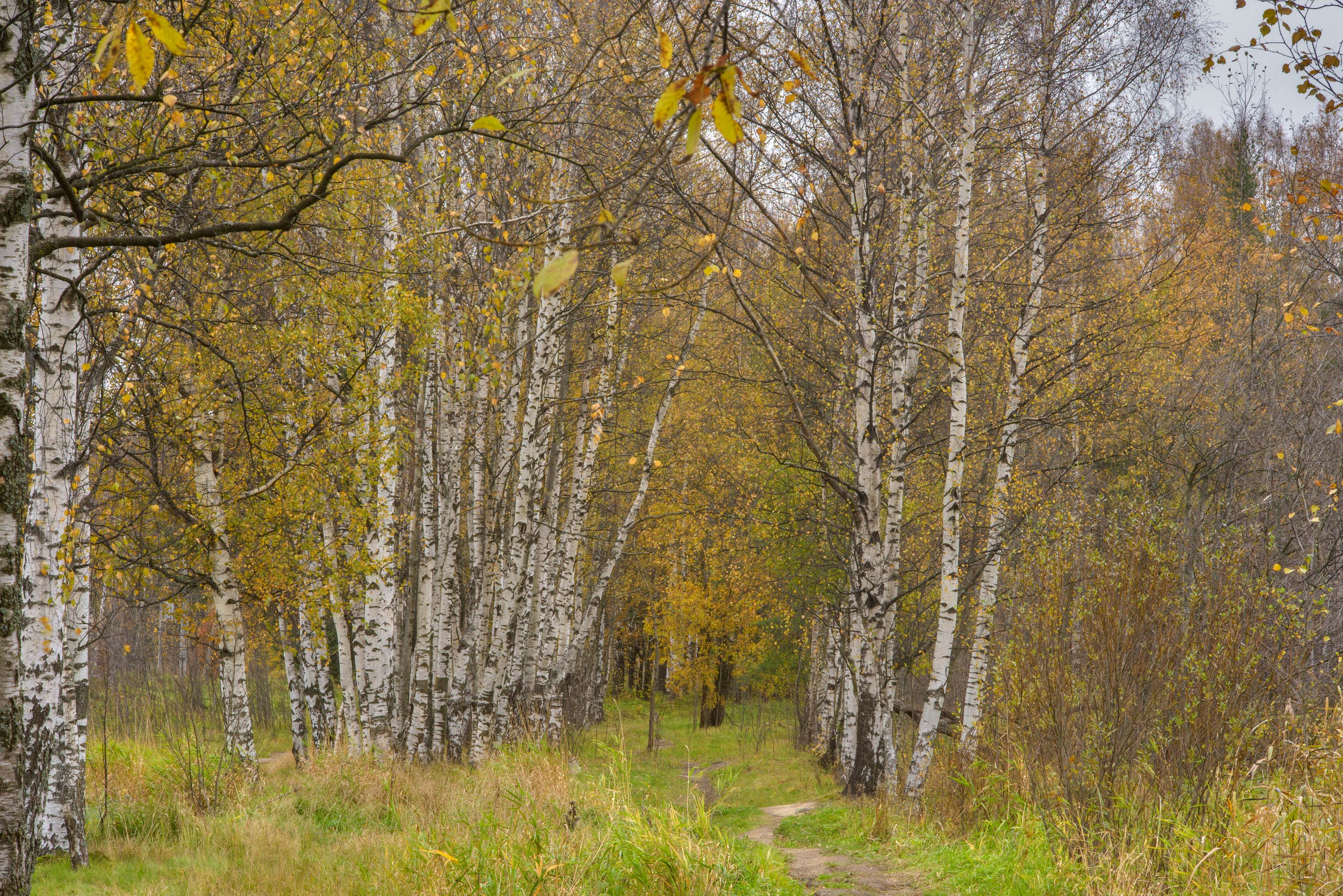 Birch alley near Universitet train stop in...west from St.Petersburg, Russia
