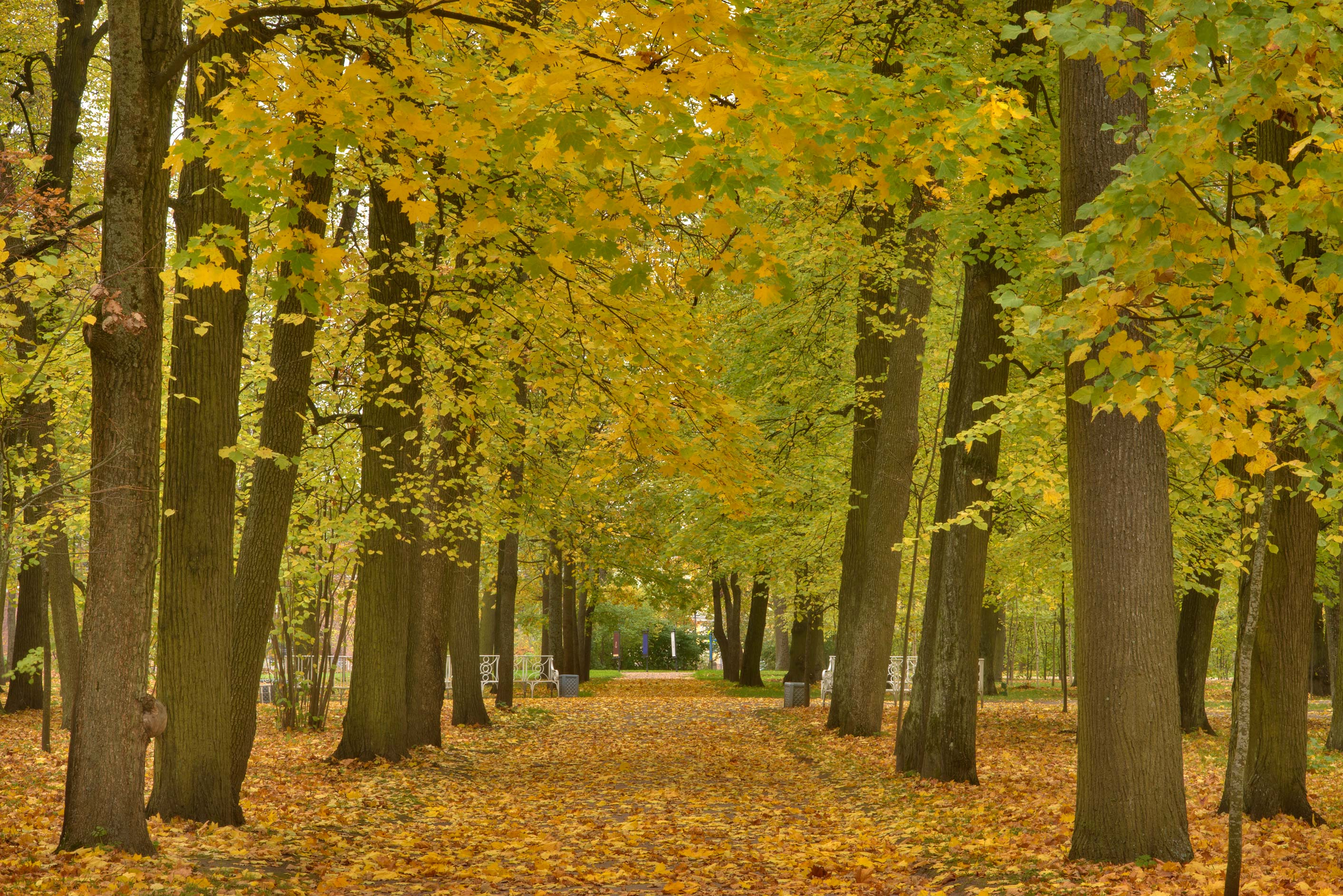Linden alley in Catherine Park. Pushkin (former Tsarskoe Selo) near St.Petersburg, Russia