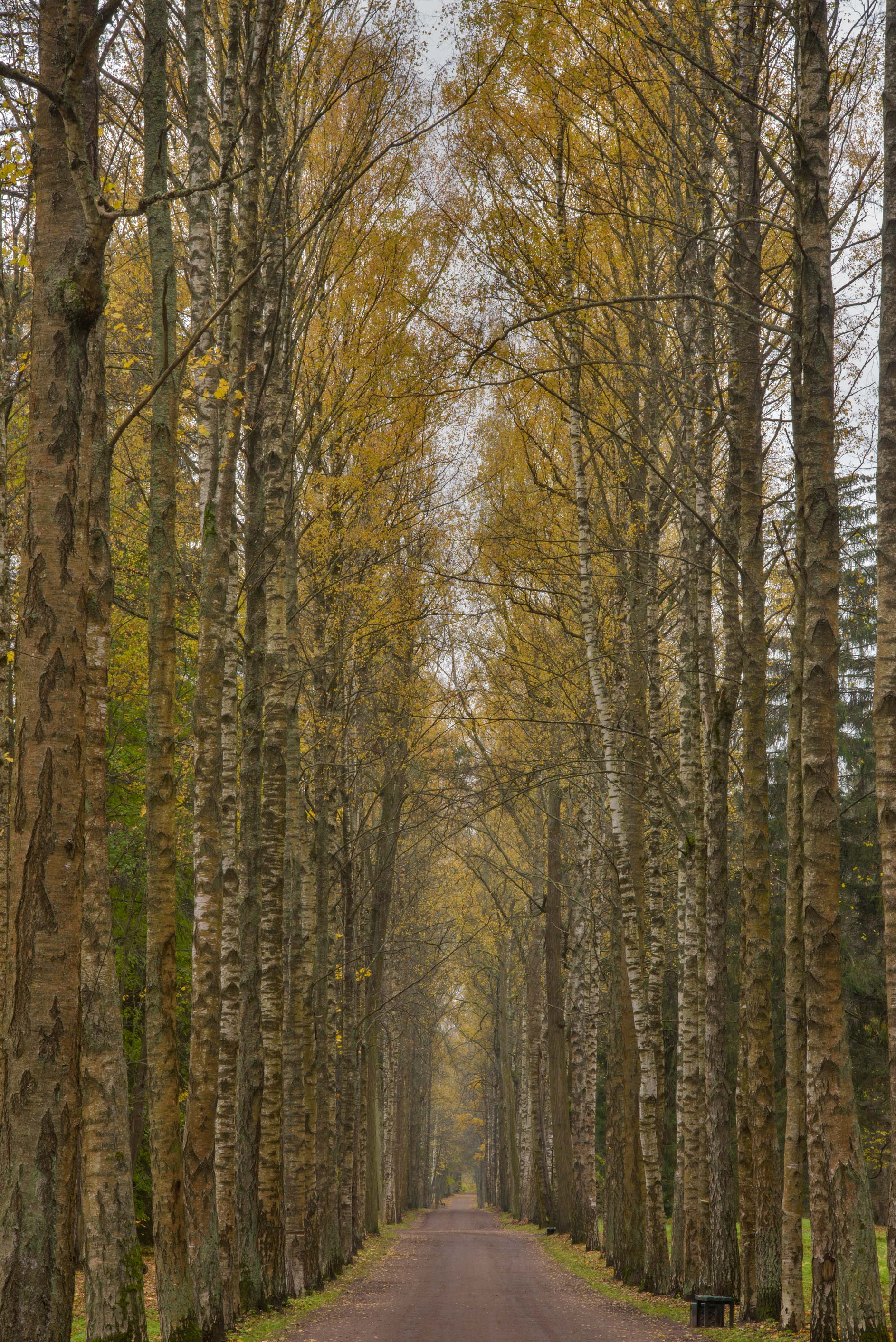 Birch trees of Krasnodolinnaya Alley in Pavlovsk...a suburb of St.Petersburg, Russia
