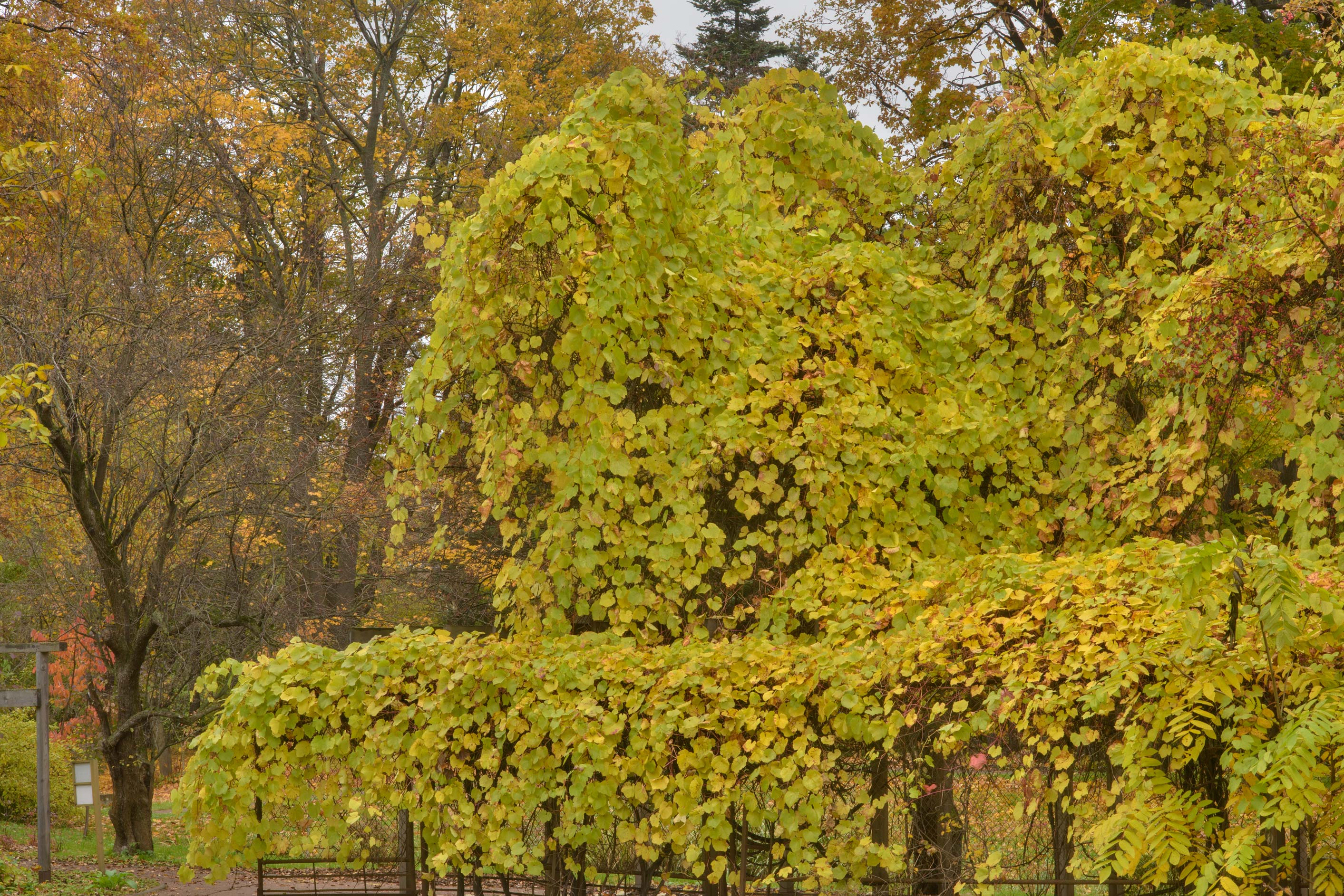 Yellow leaves of vines in Botanic Gardens of...Institute. St.Petersburg, Russia