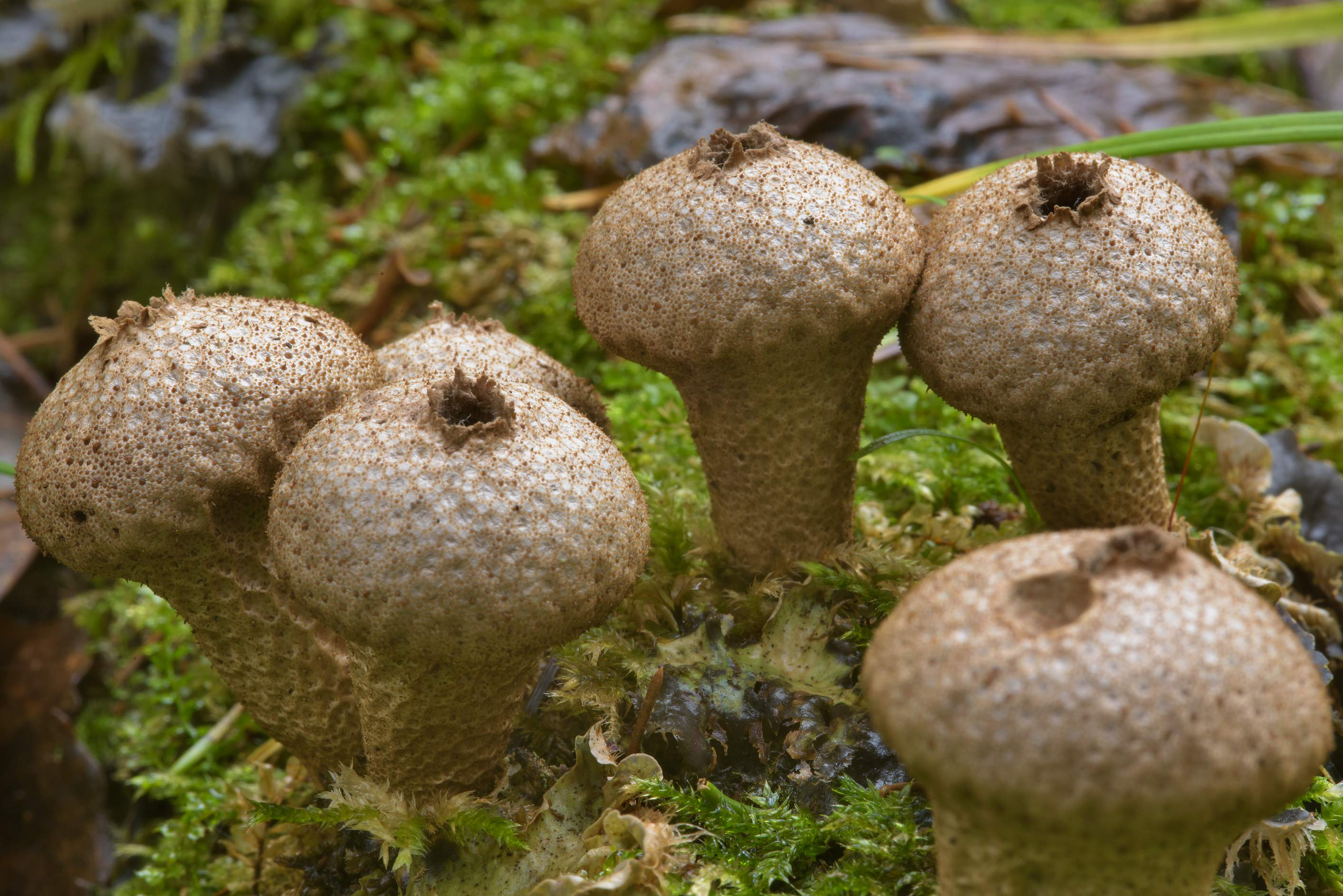 Pear-shaped puffball mushrooms (Lycoperdon...south from St.Petersburg, Russia