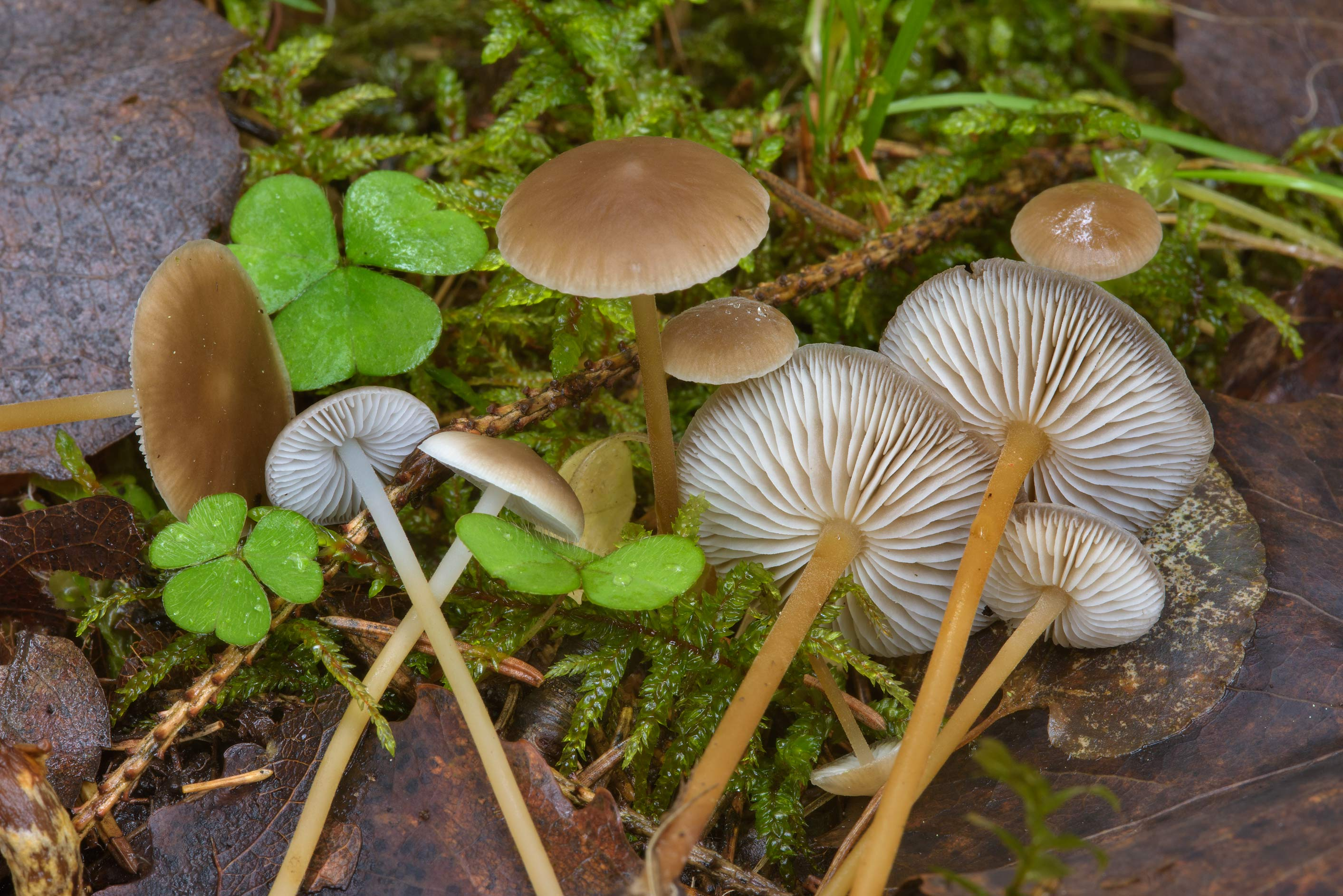 Group of sprucecone cap mushrooms (Strobilurus...south from St.Petersburg, Russia