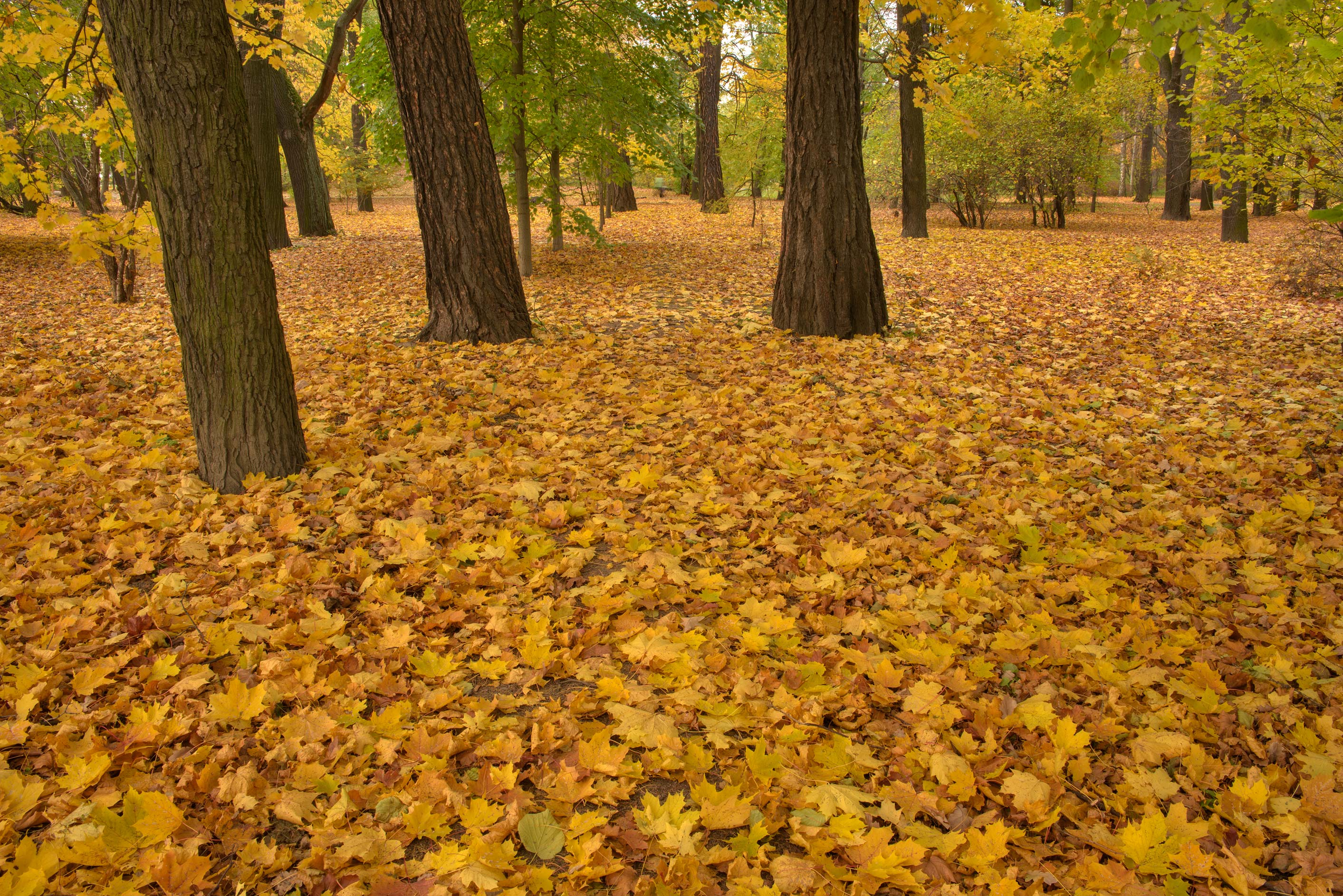 Carpet of maple leaves in Botanic Gardens of...Institute. St.Petersburg, Russia