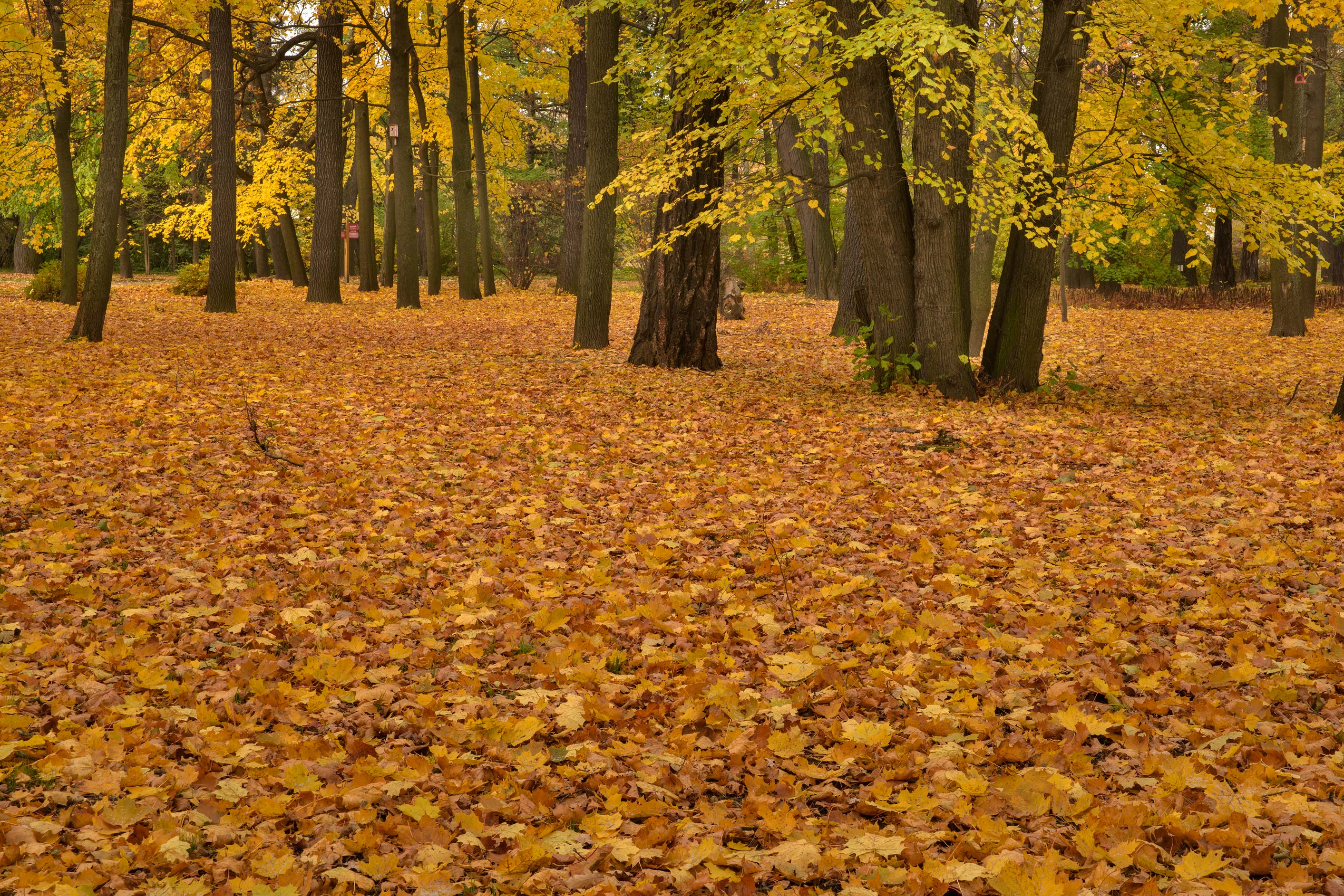 Maple leaves covering ground in Botanic Gardens...Institute. St.Petersburg, Russia