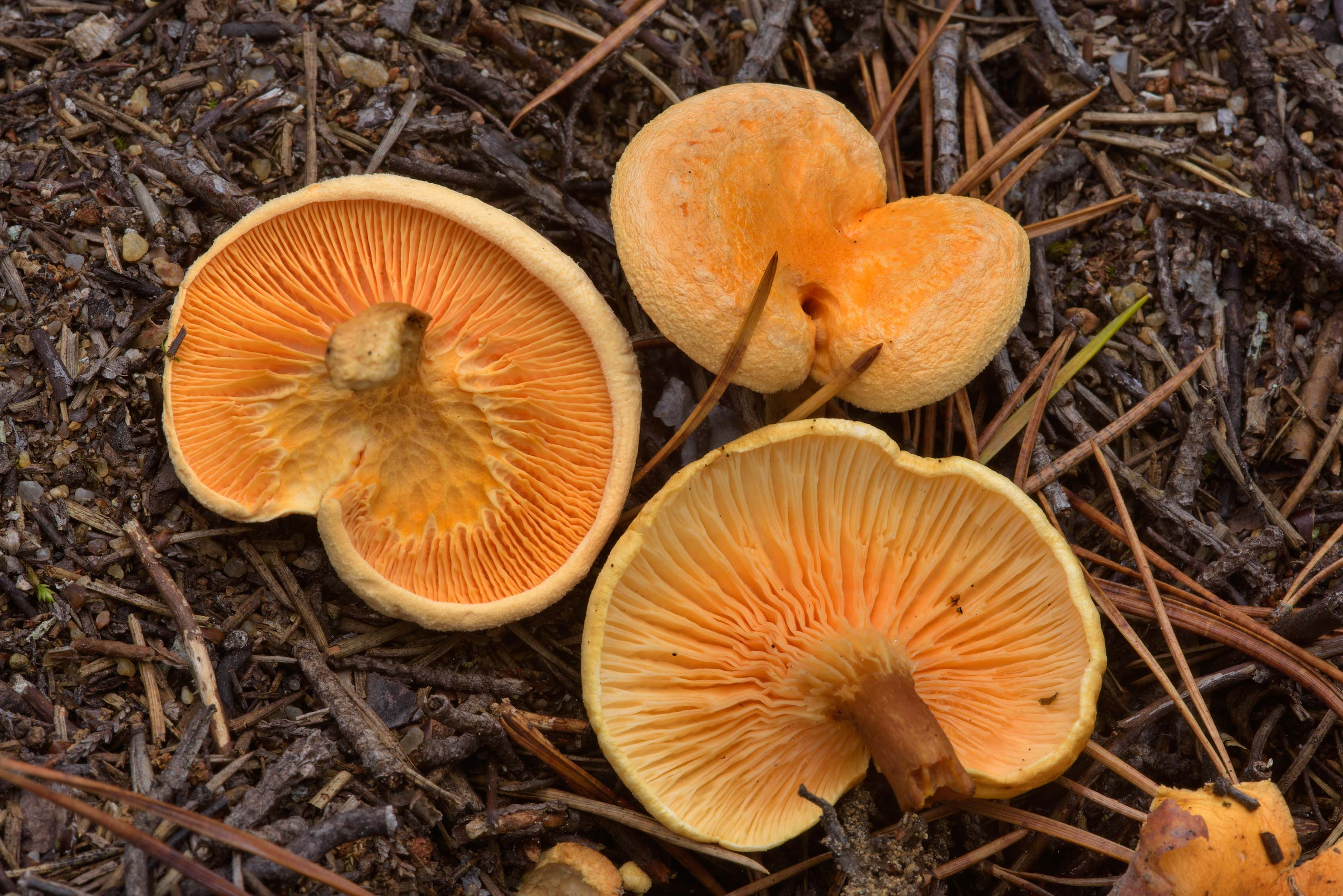 False chanterelle mushrooms (Hygrophoropsis...north from St.Petersburg, Russia