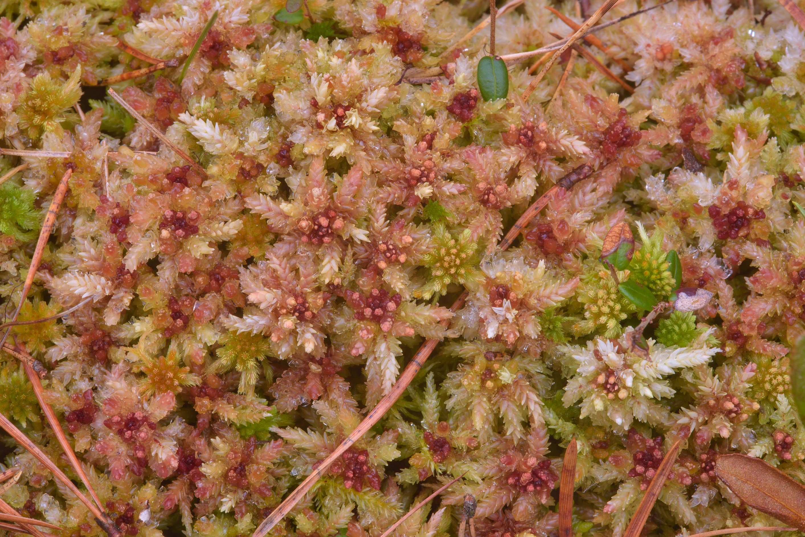 Close up of sphagnum moss near Orekhovo, north from St.Petersburg, Russia