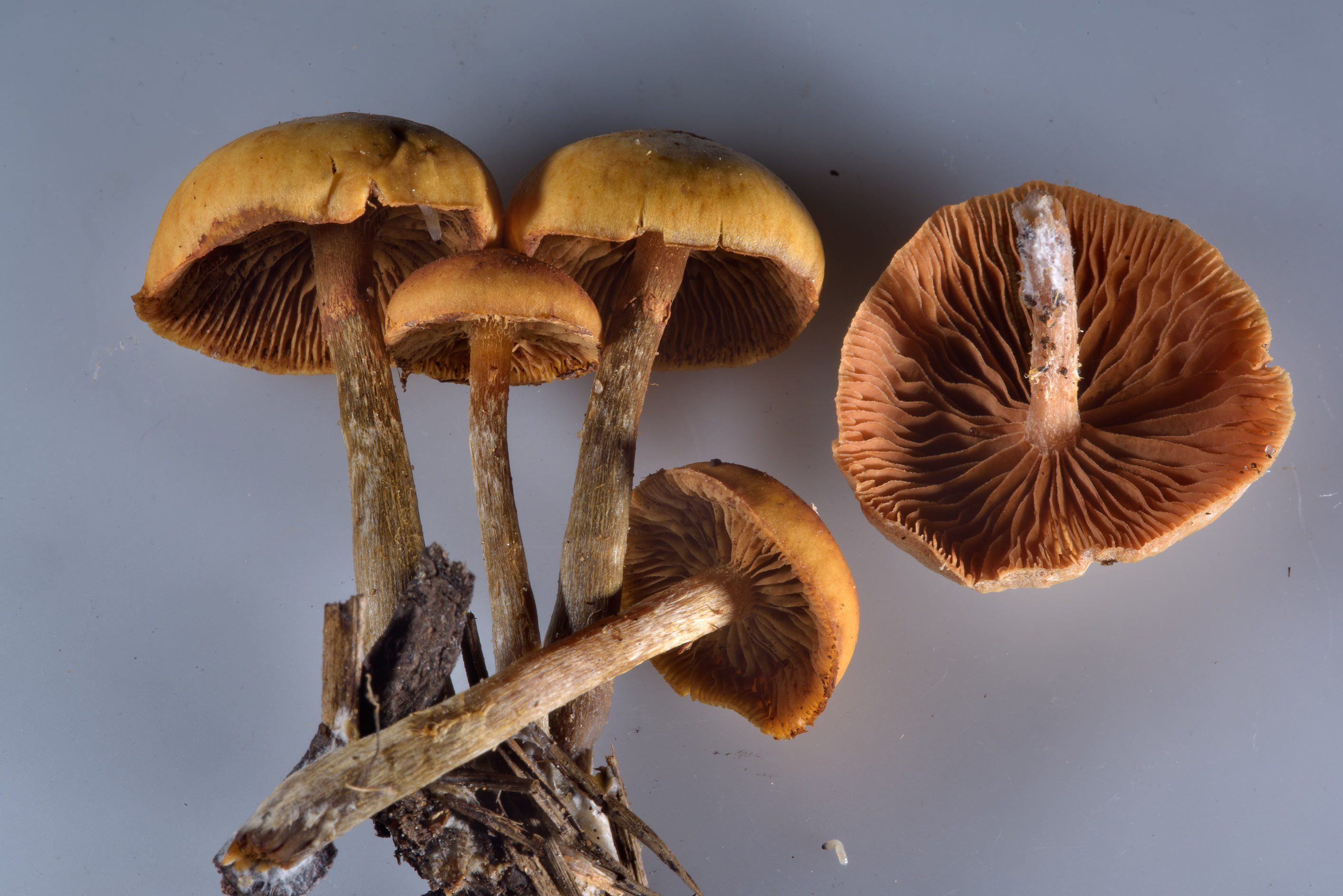 Funeral bell mushrooms (Galerina marginata...north from St.Petersburg, Russia