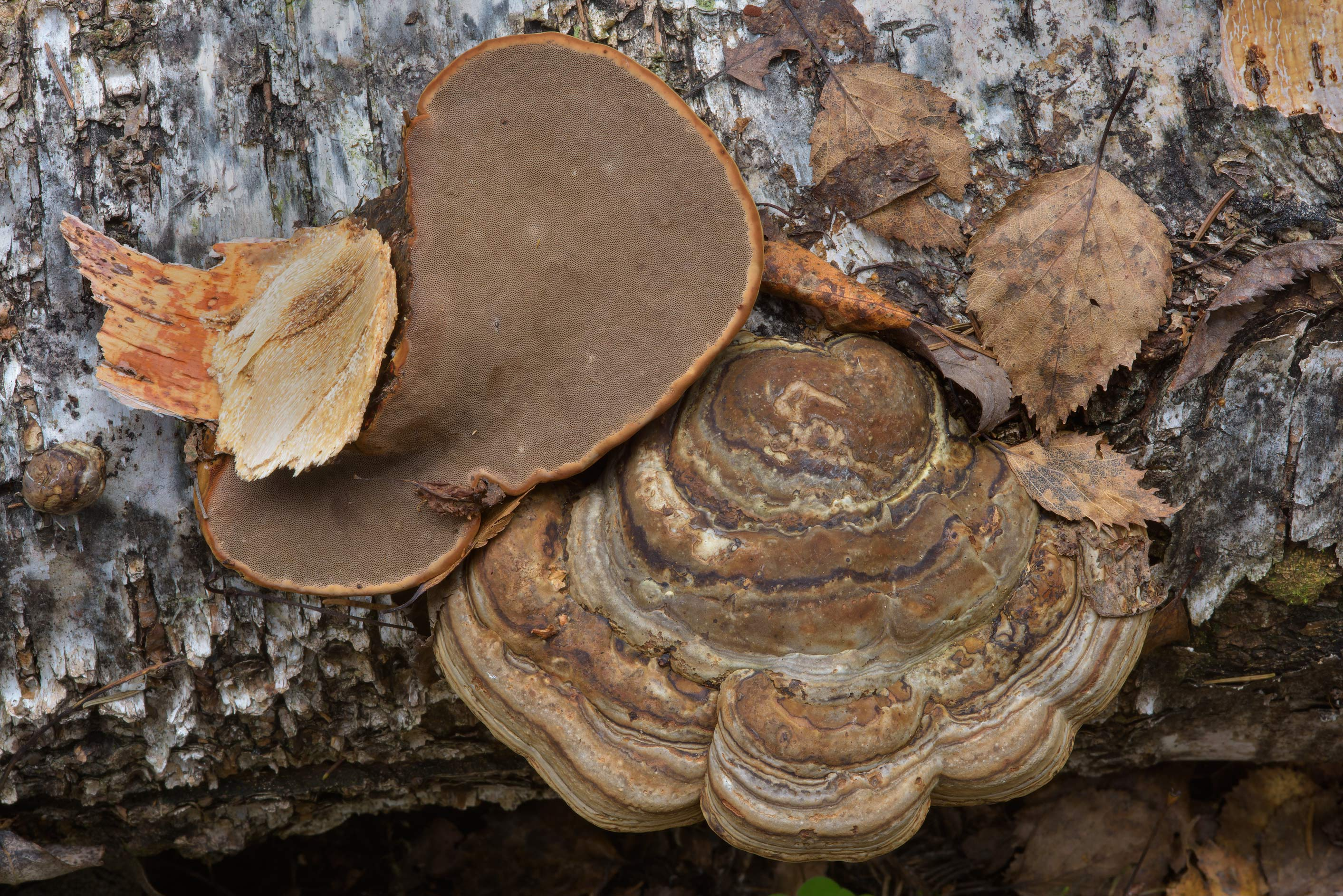 Tinder polypore mushrooms (bracket fungus, Fomes...north-west from St.Petersburg, Russia