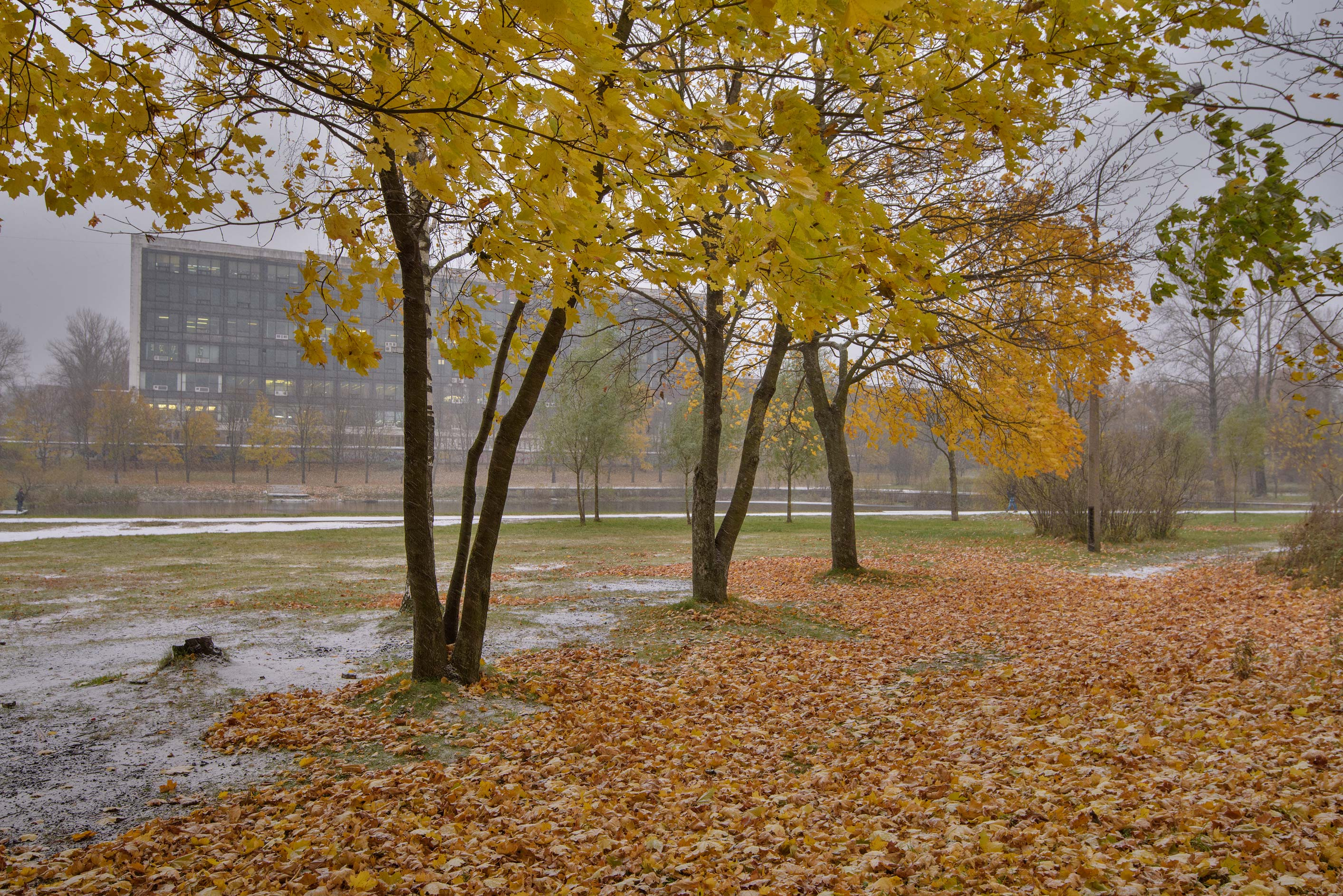 Maple trees near Olginsky Pond. St.Petersburg, Russia