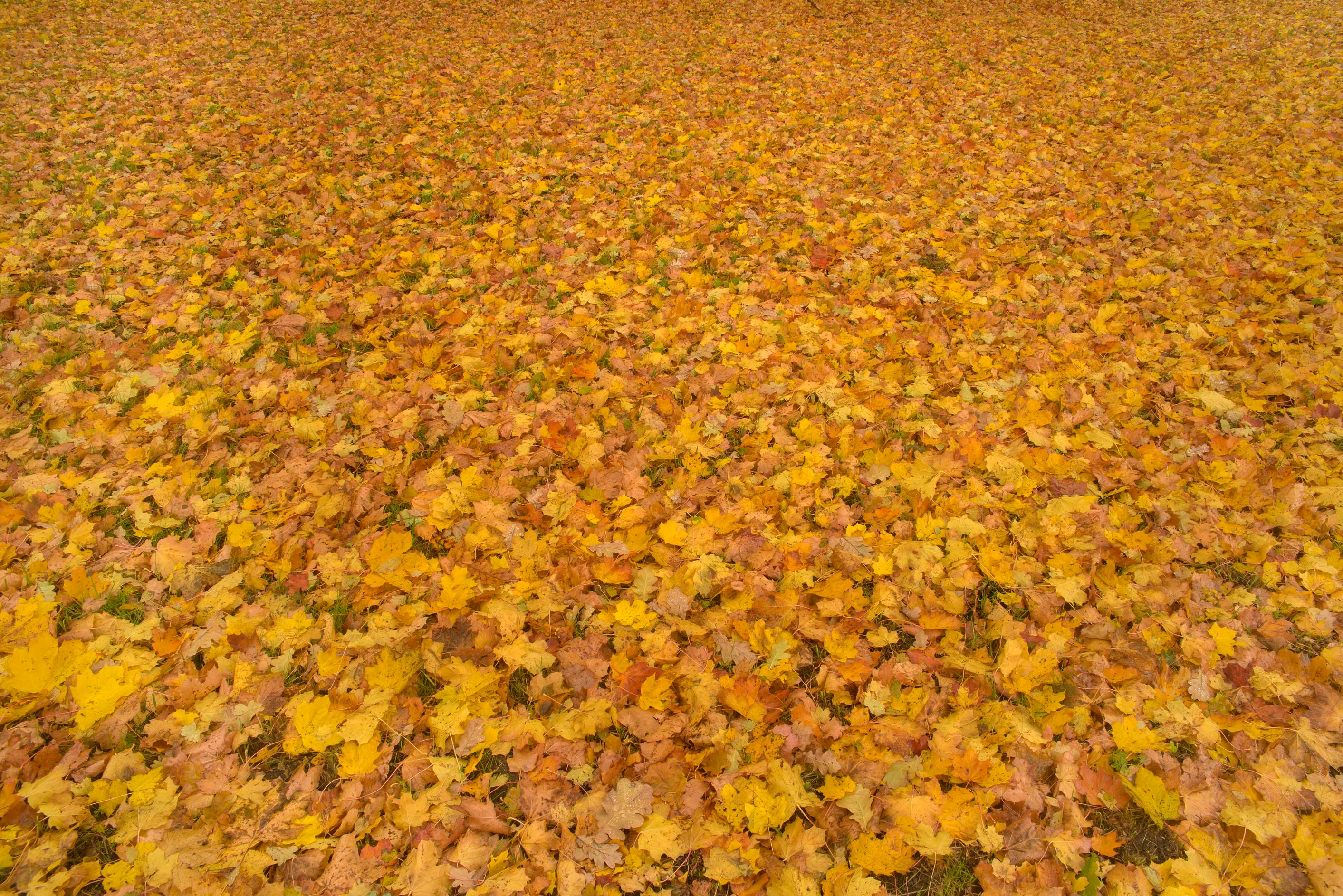 Yellow leaves of maple carpeting ground in...Institute. St.Petersburg, Russia