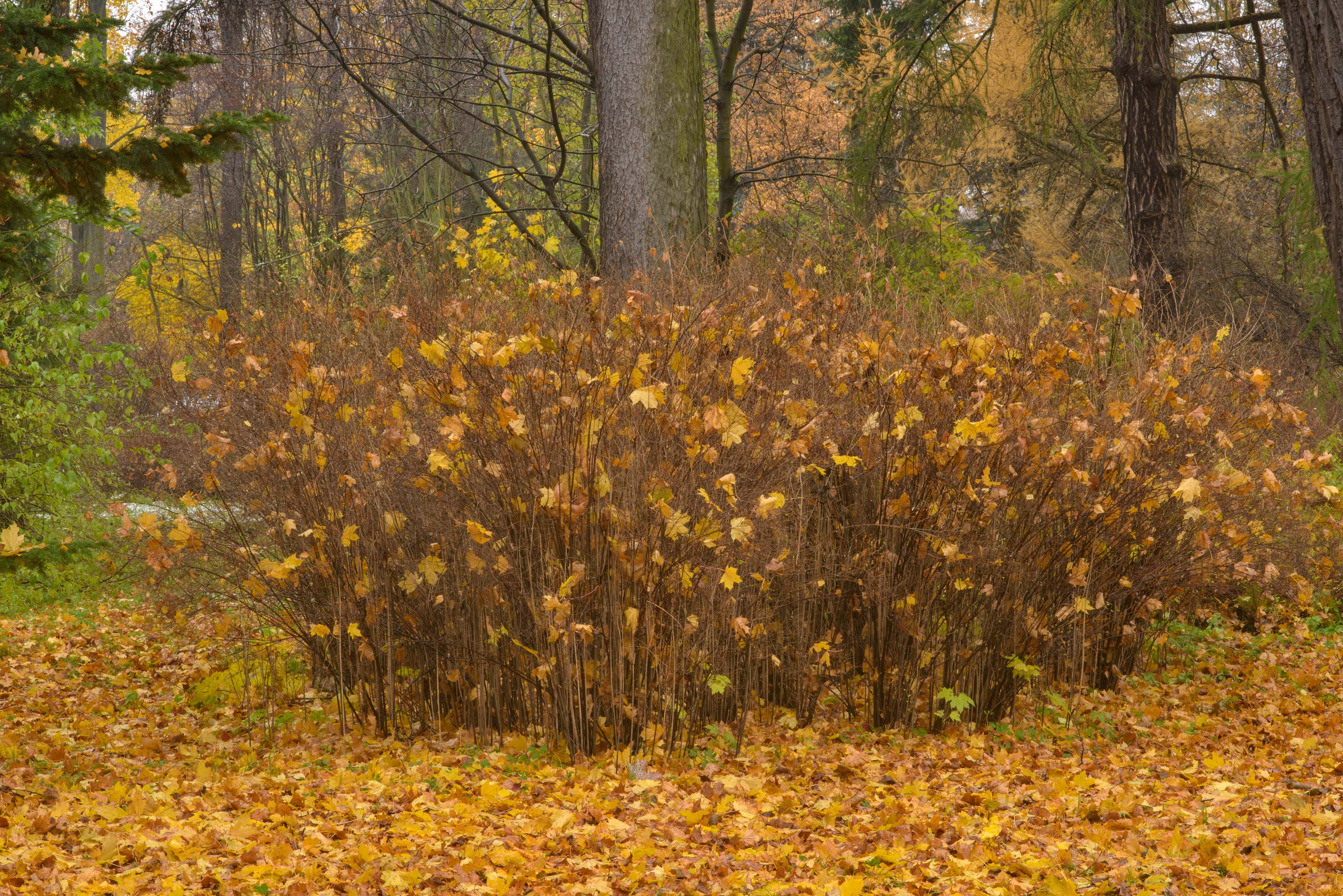 Fall colors of spirea bush in Botanic Gardens of...Institute. St.Petersburg, Russia