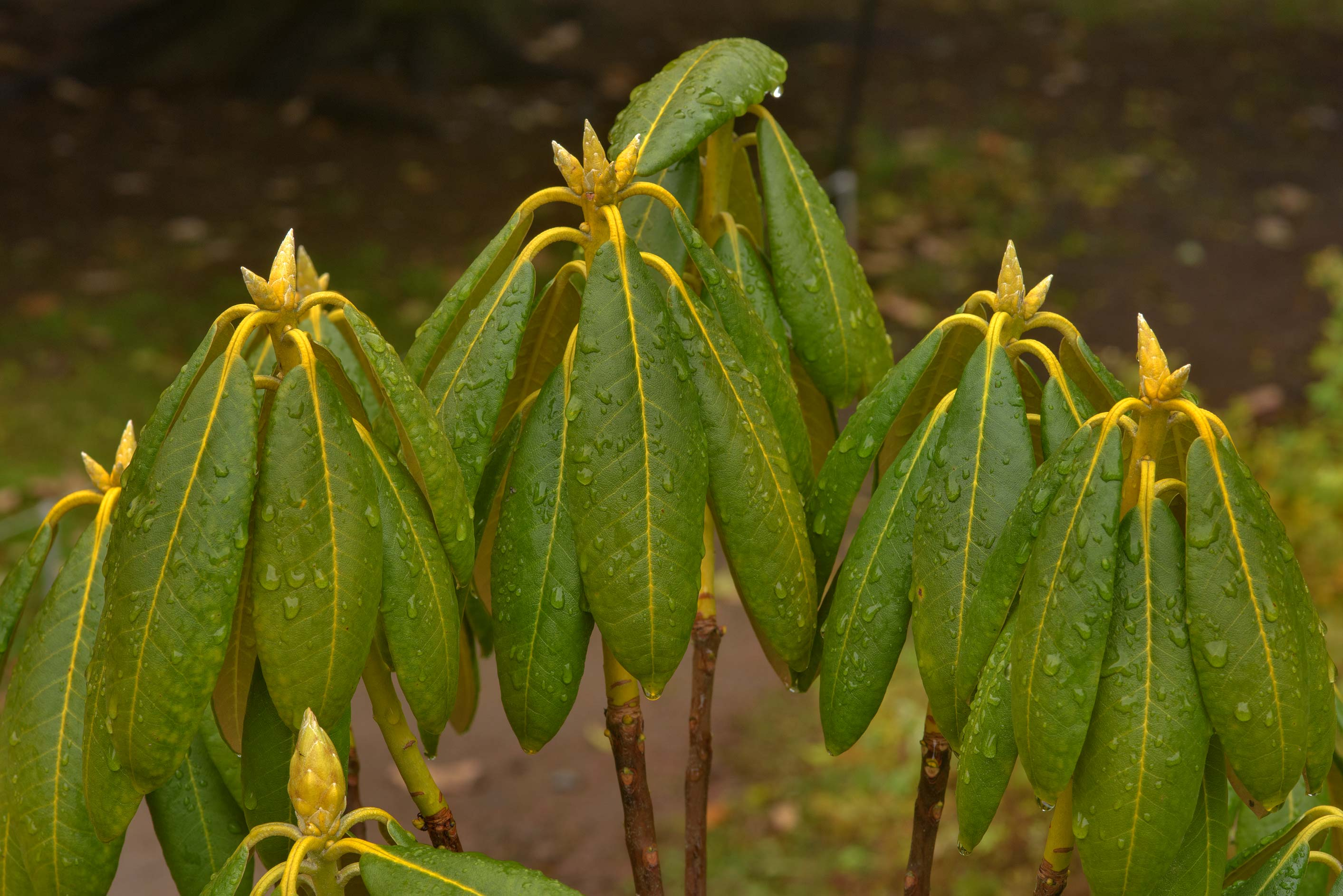 Rhododendron leaves in Botanic Gardens of Komarov...Institute. St.Petersburg, Russia