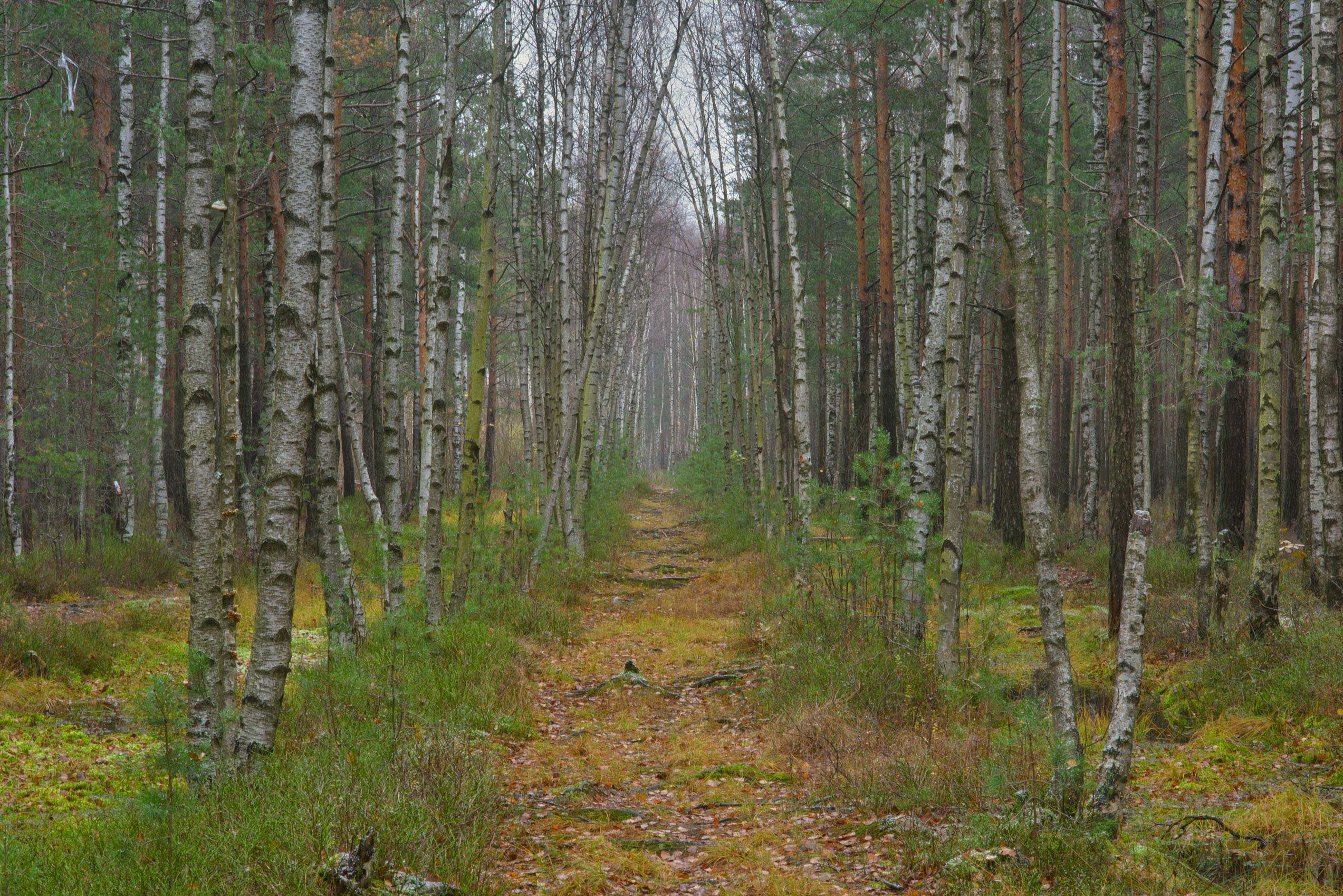 Birch alley in swampy area in Sosnovka Park. St.Petersburg, Russia