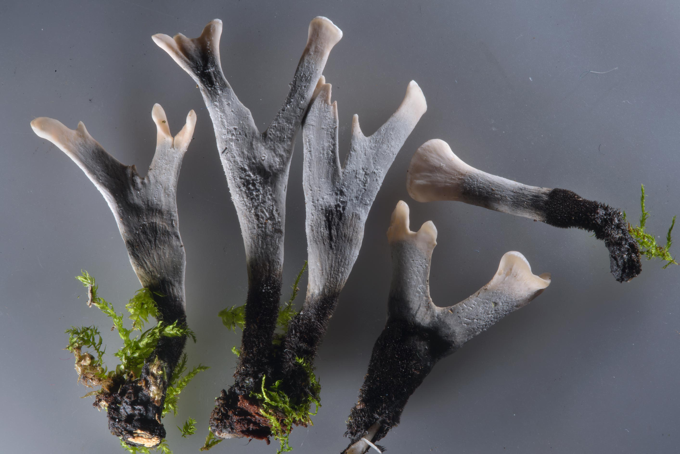 Candlesnuff fungus (stag's horn, carbon antlers...Sosnovka Park. St.Petersburg, Russia