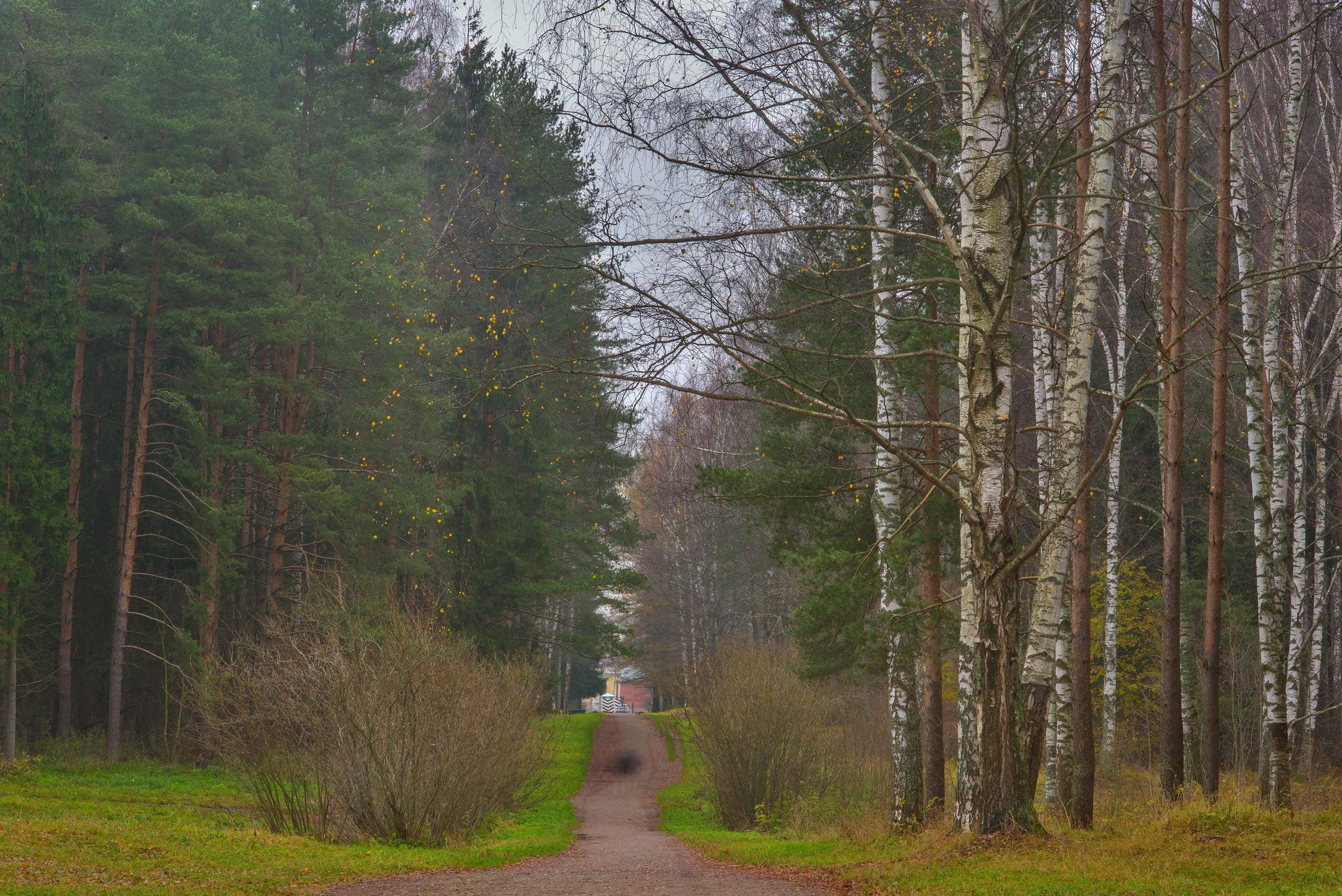 Forest around Krasnogo Solntsa Alley in Pavlovsk...suburb of St.Petersburg, Russia
