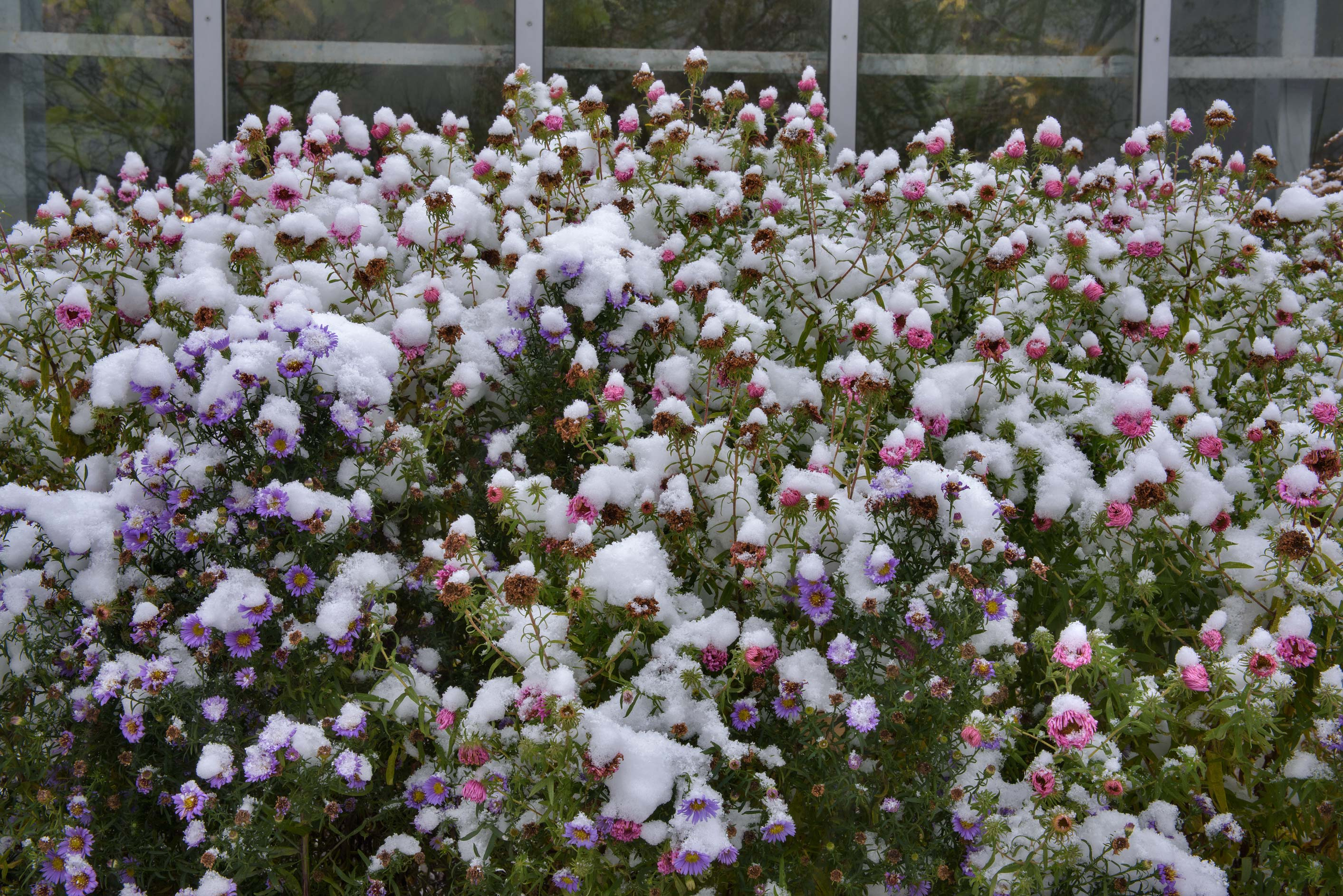 Pink asters with snow in Botanic Gardens of...Institute. St.Petersburg, Russia