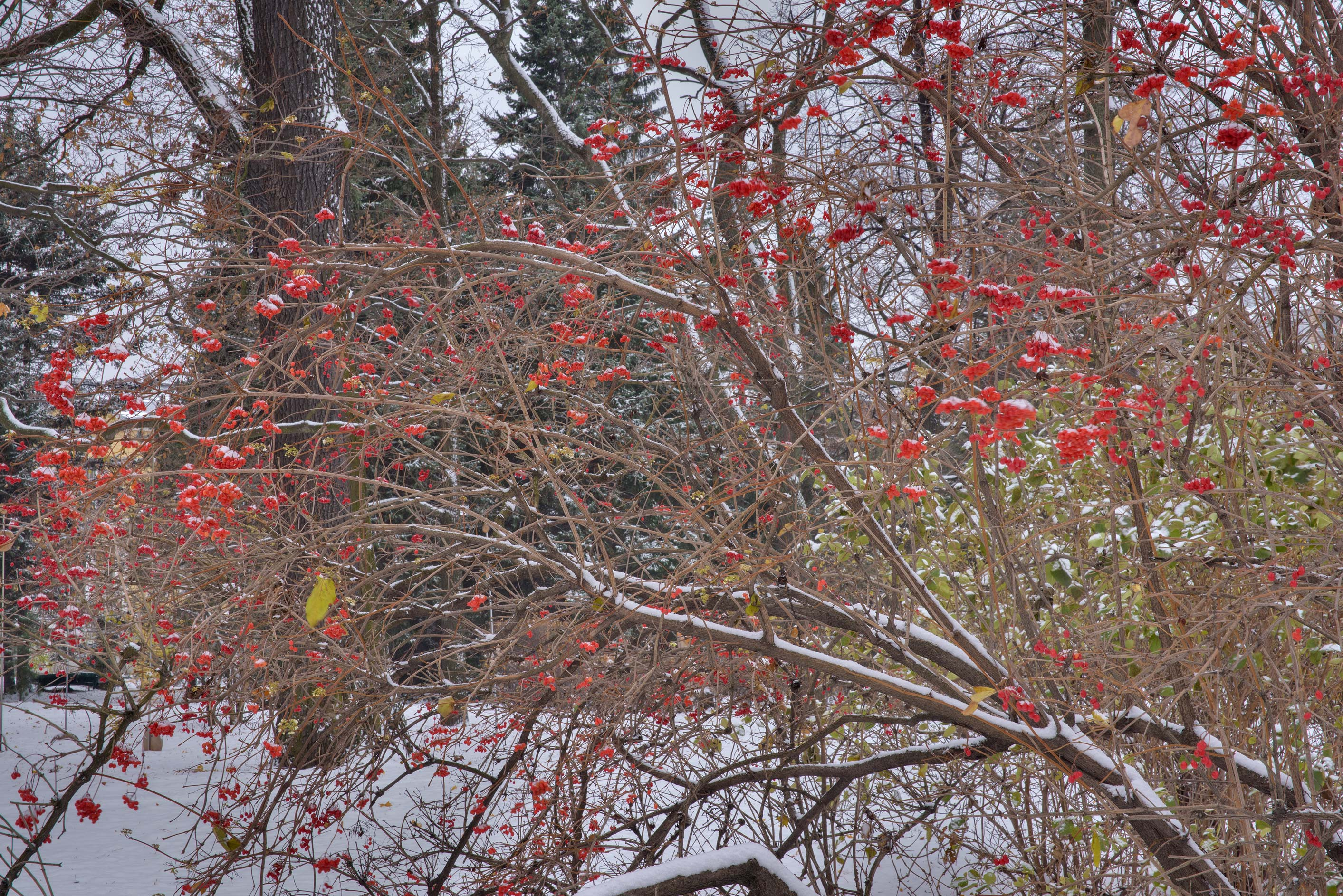 Cranberrybush in snow in Botanic Gardens of...Institute. St.Petersburg, Russia
