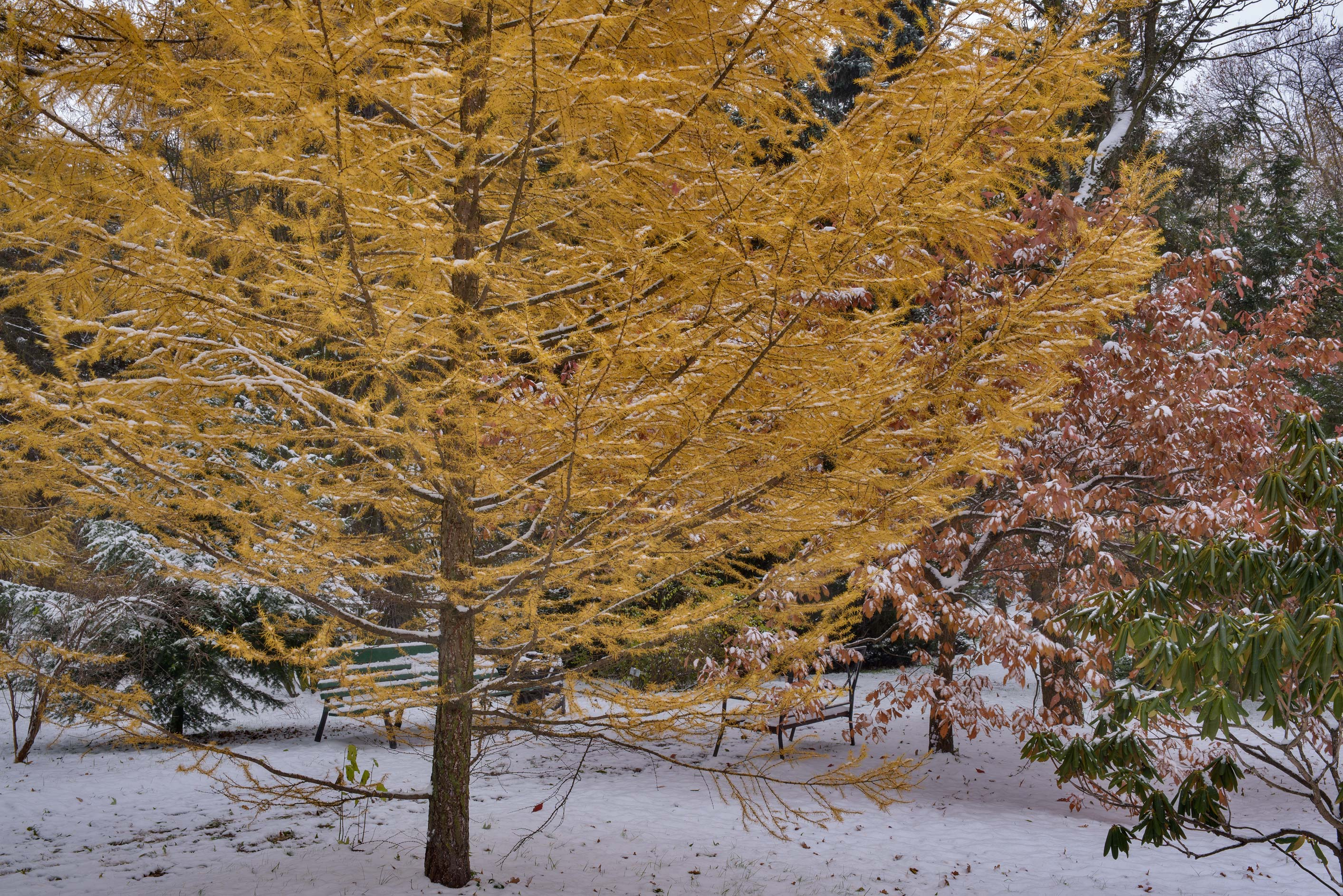 Yellow larch tree in snow in Botanic Gardens of...Institute. St.Petersburg, Russia