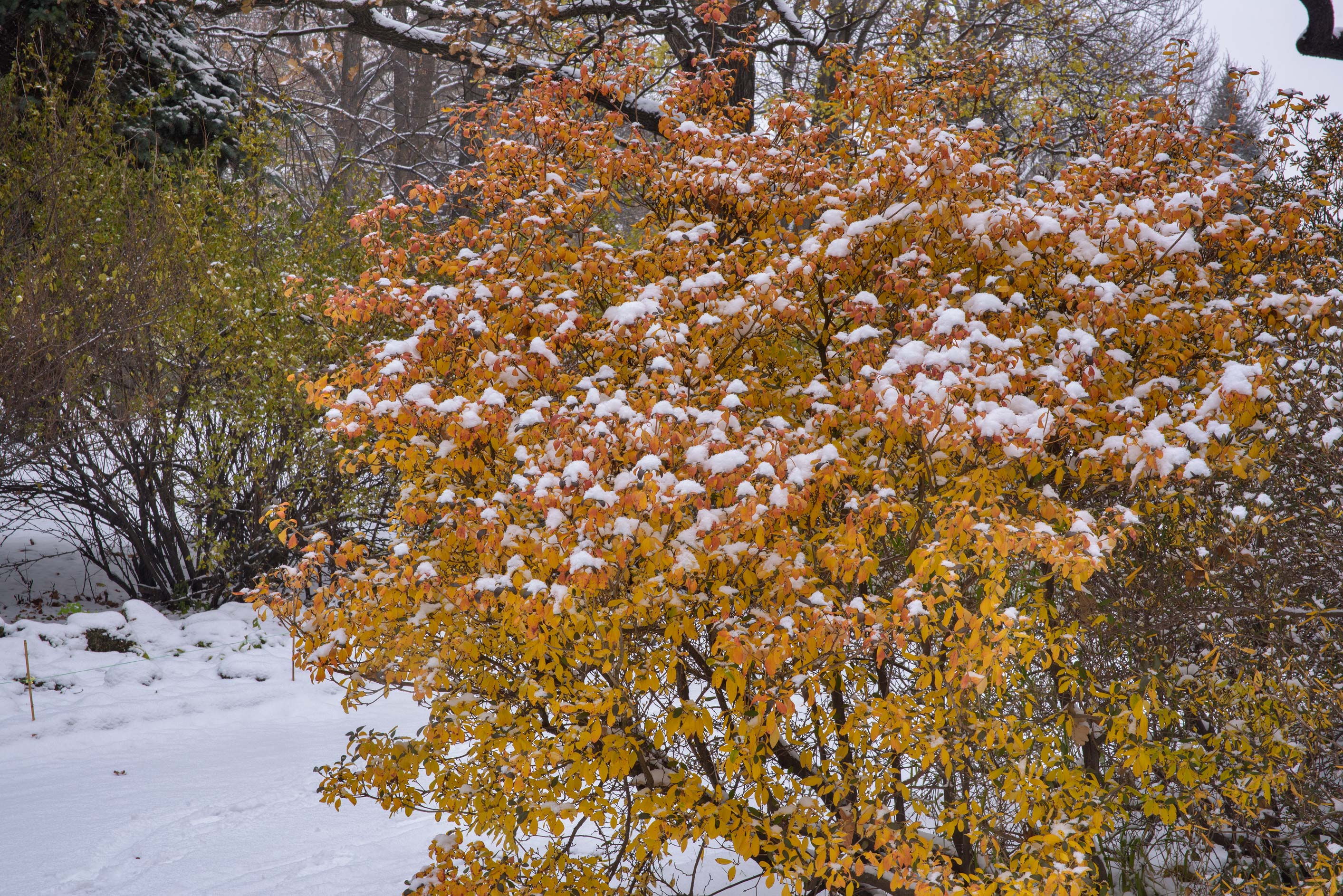 Orange foliage of rhododendron in Botanic Gardens...Institute. St.Petersburg, Russia