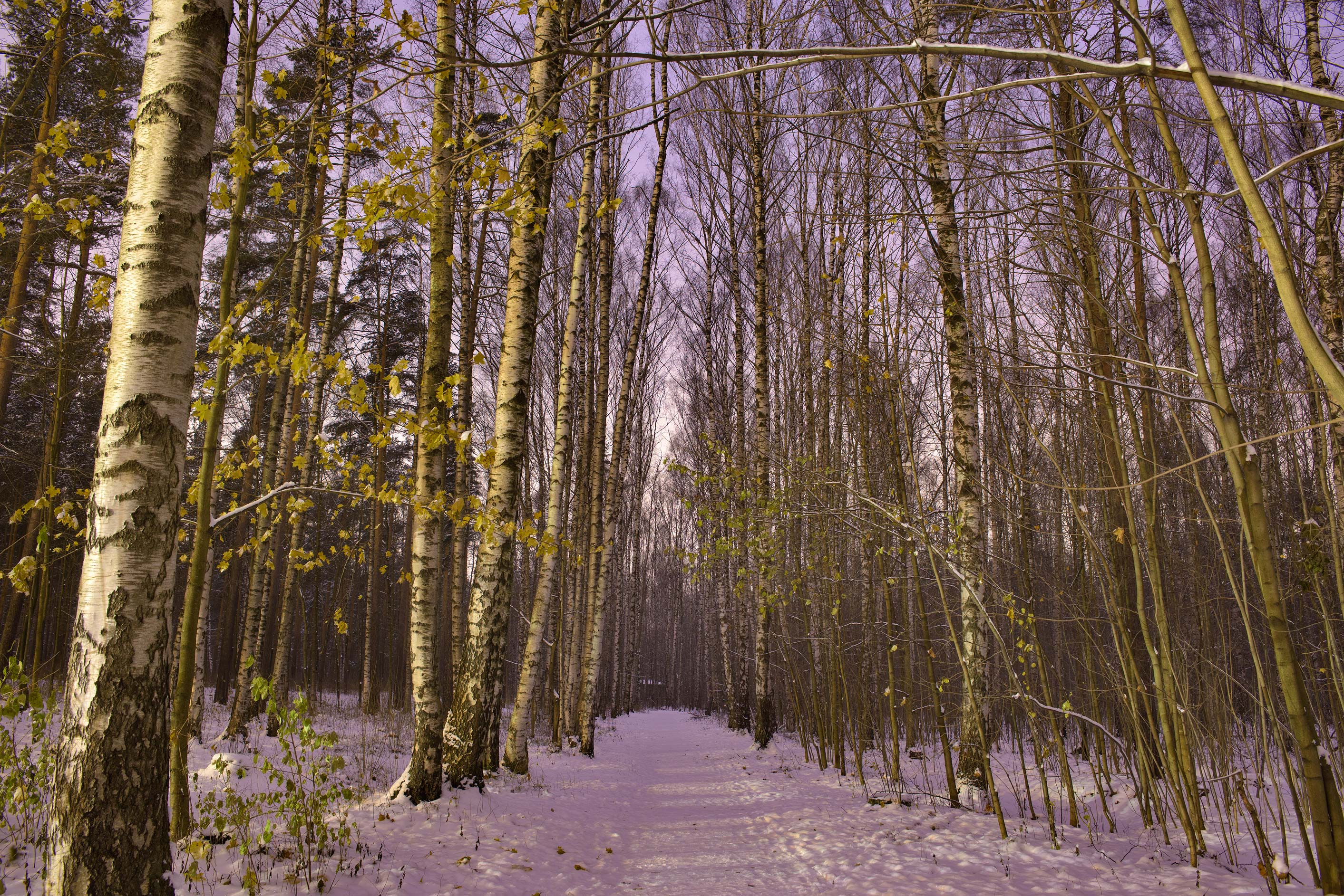 Birch alley in Sosnovka Park at morning. St.Petersburg, Russia