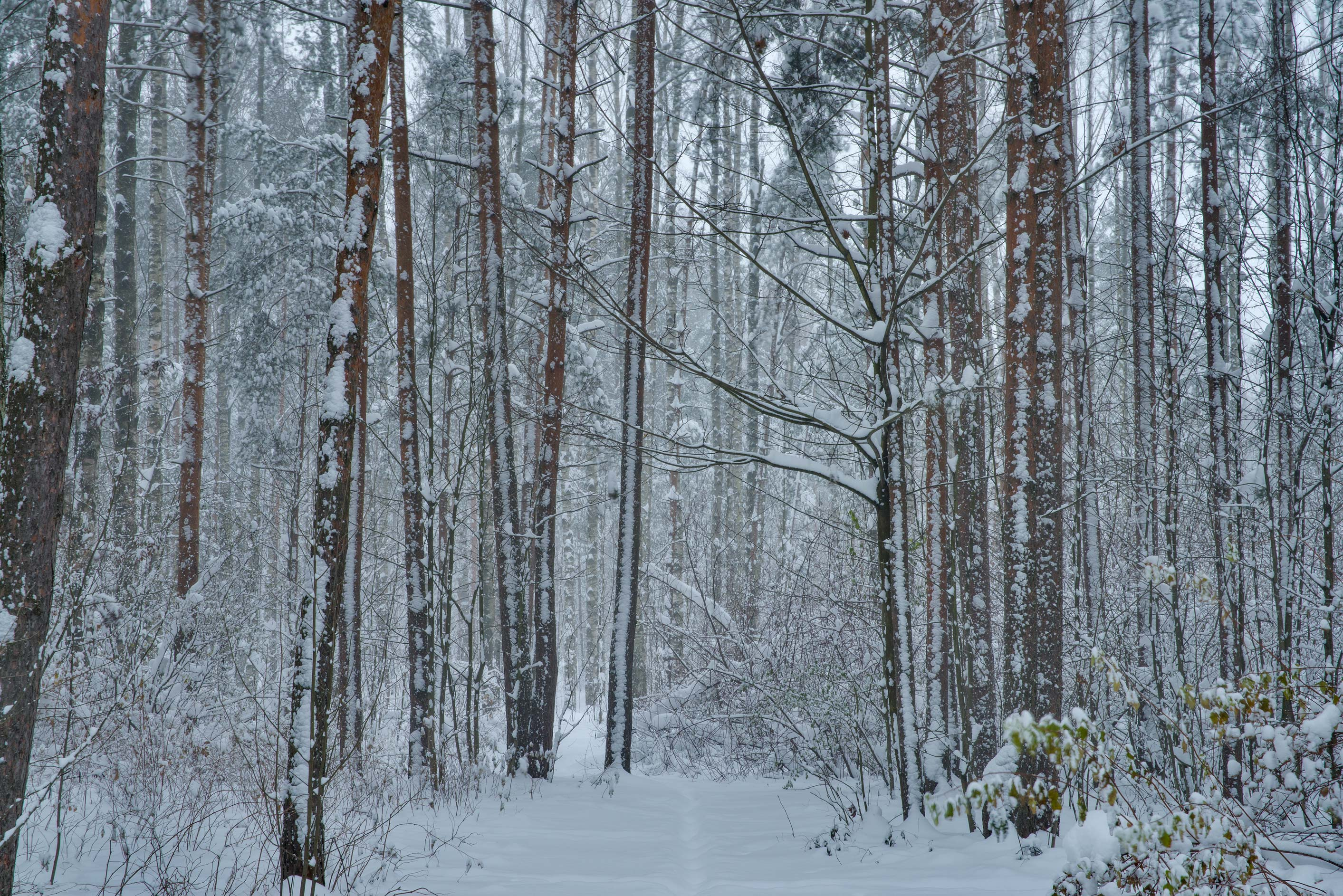 Forest in snow in Sosnovka Park. St.Petersburg, Russia