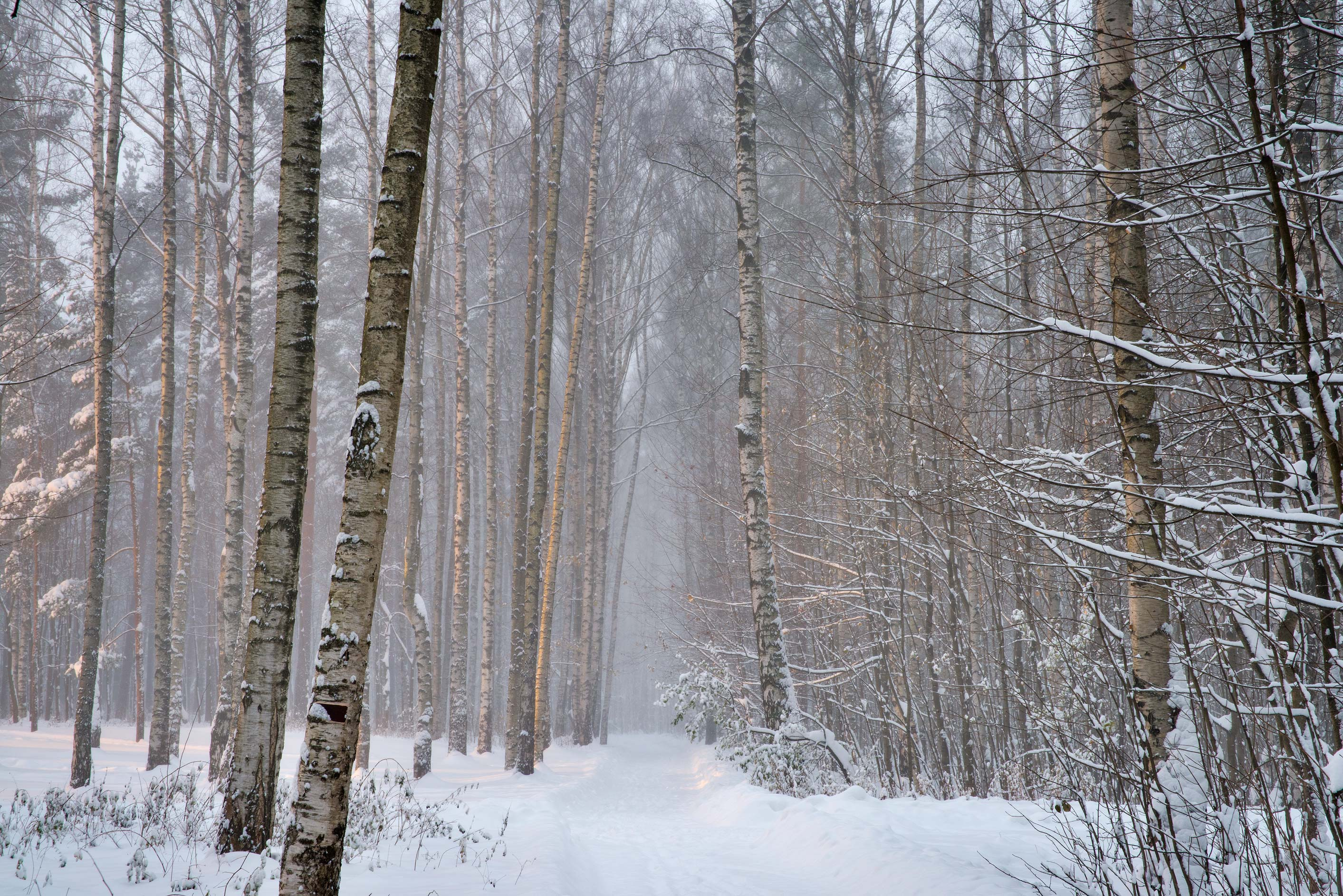Snowy path in a birch forest in Sosnovka Park. St.Petersburg, Russia
