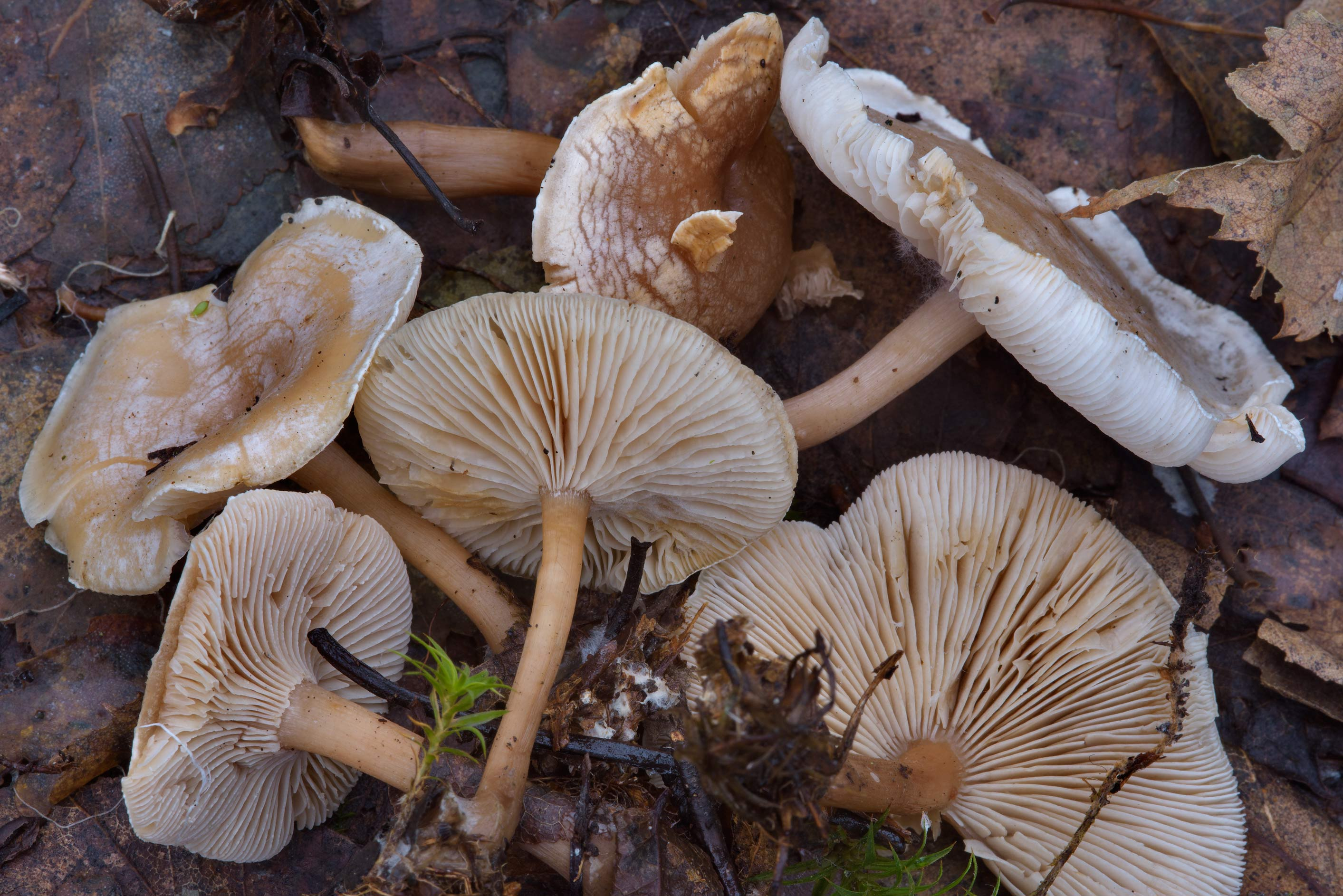 Late fall funnel mushrooms (Clitocybe rivulosa) in Sosnovka Park. St.Petersburg, Russia