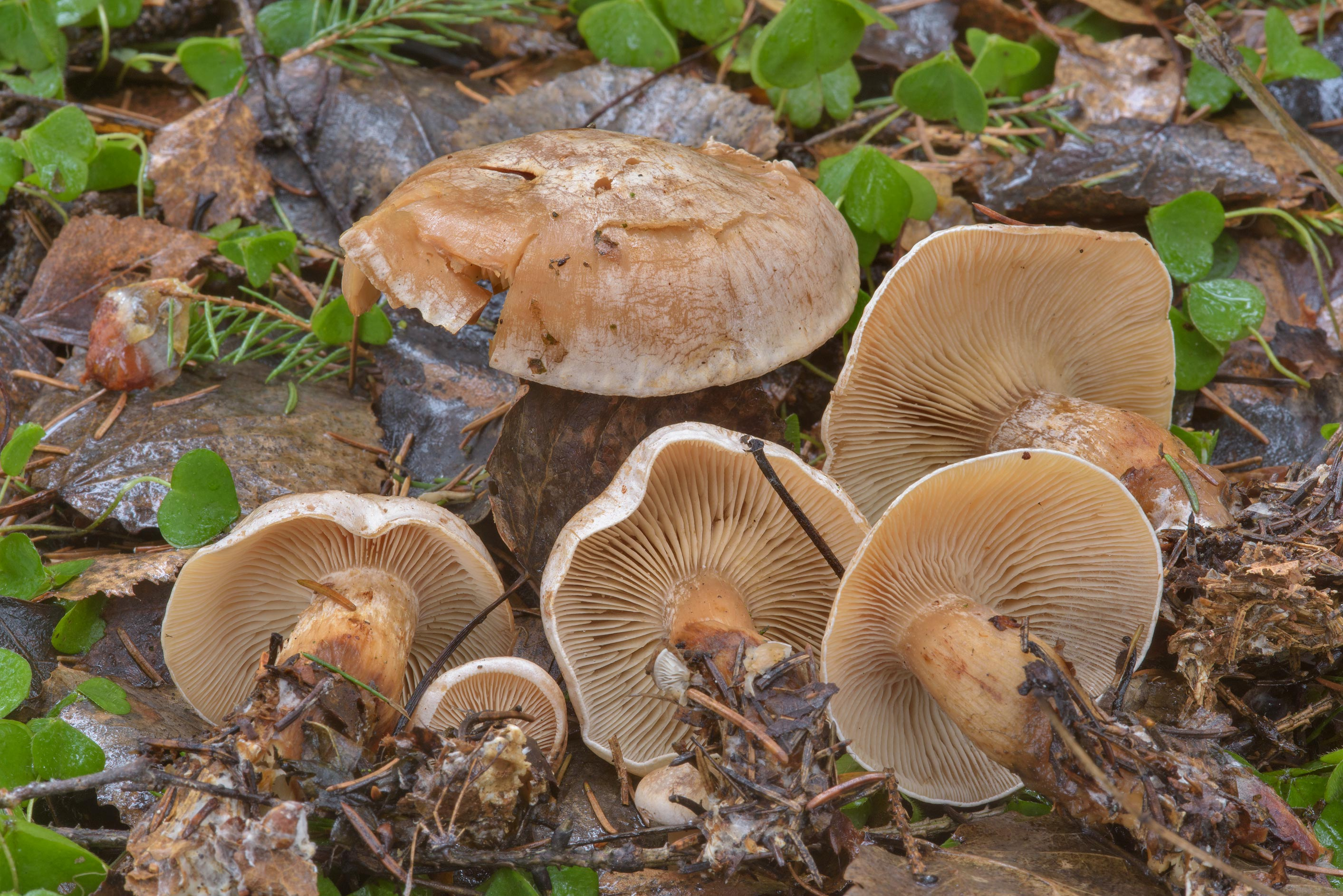 Late fall funnel mushrooms (Clitocybe rivulosa...a suburb of St.Petersburg, Russia