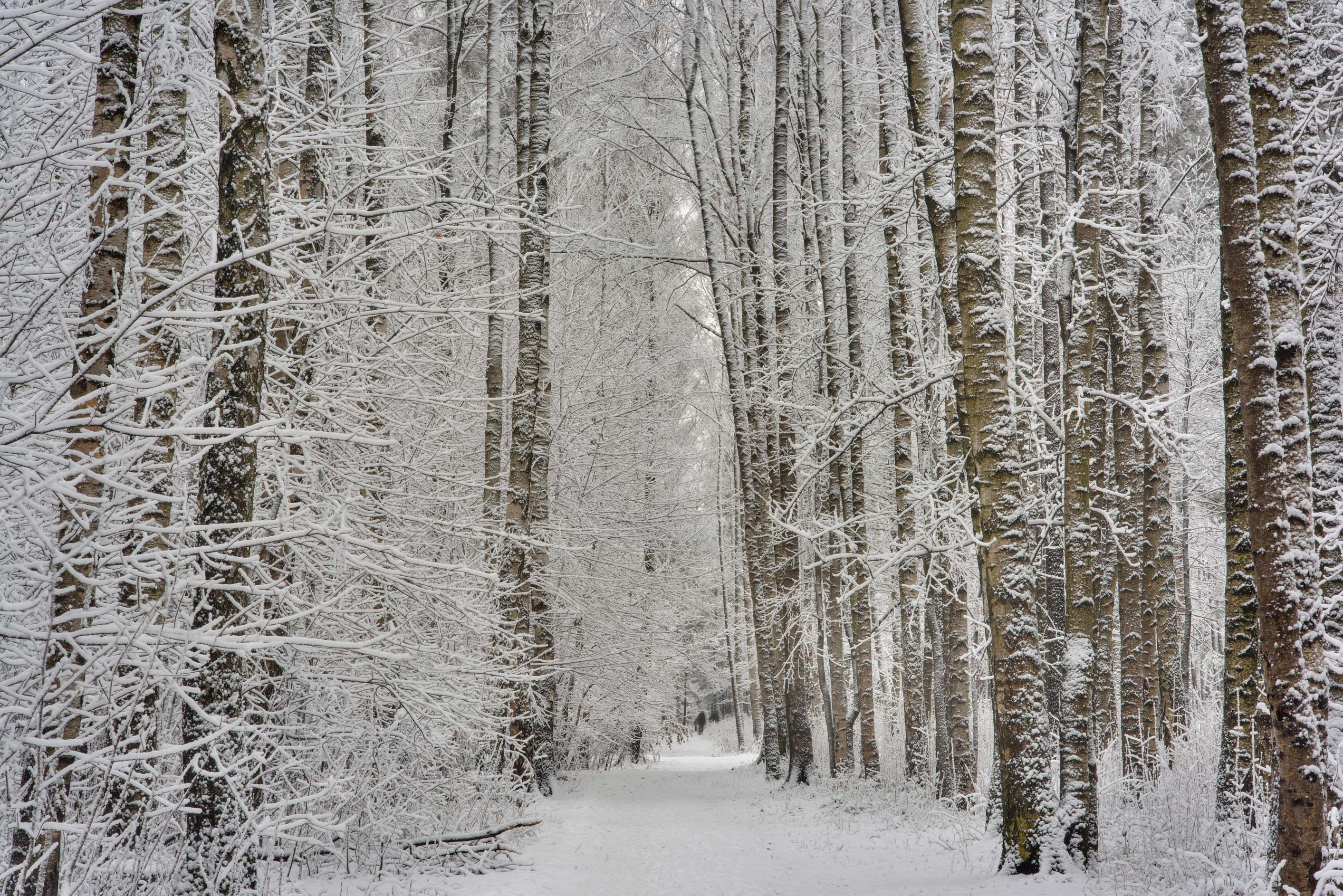 Birch alley in fresh snow in Sosnovka Park. St.Petersburg, Russia