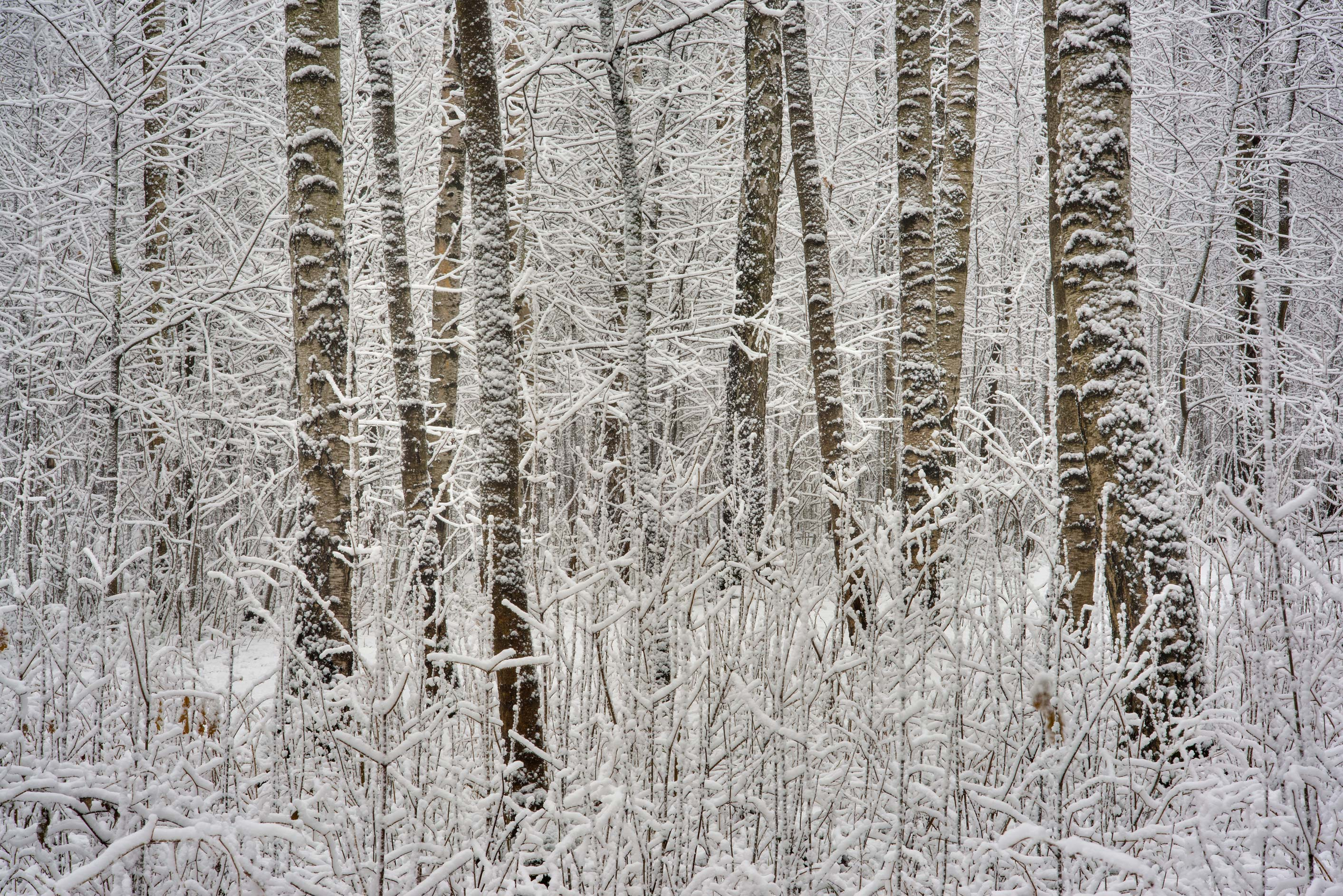 Birch trees in fresh snow in Sosnovka Park. St.Petersburg, Russia