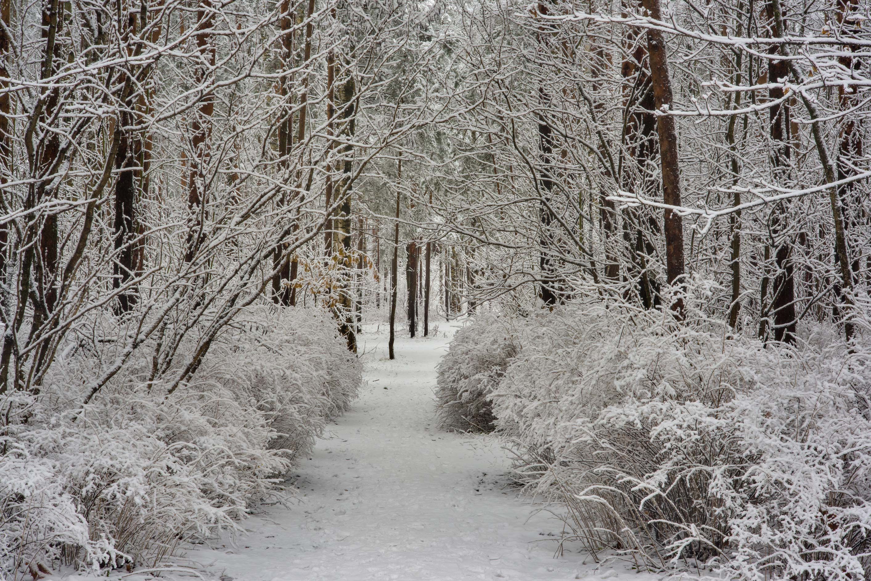 Forest road in fresh snow in Sosnovka Park. St.Petersburg, Russia