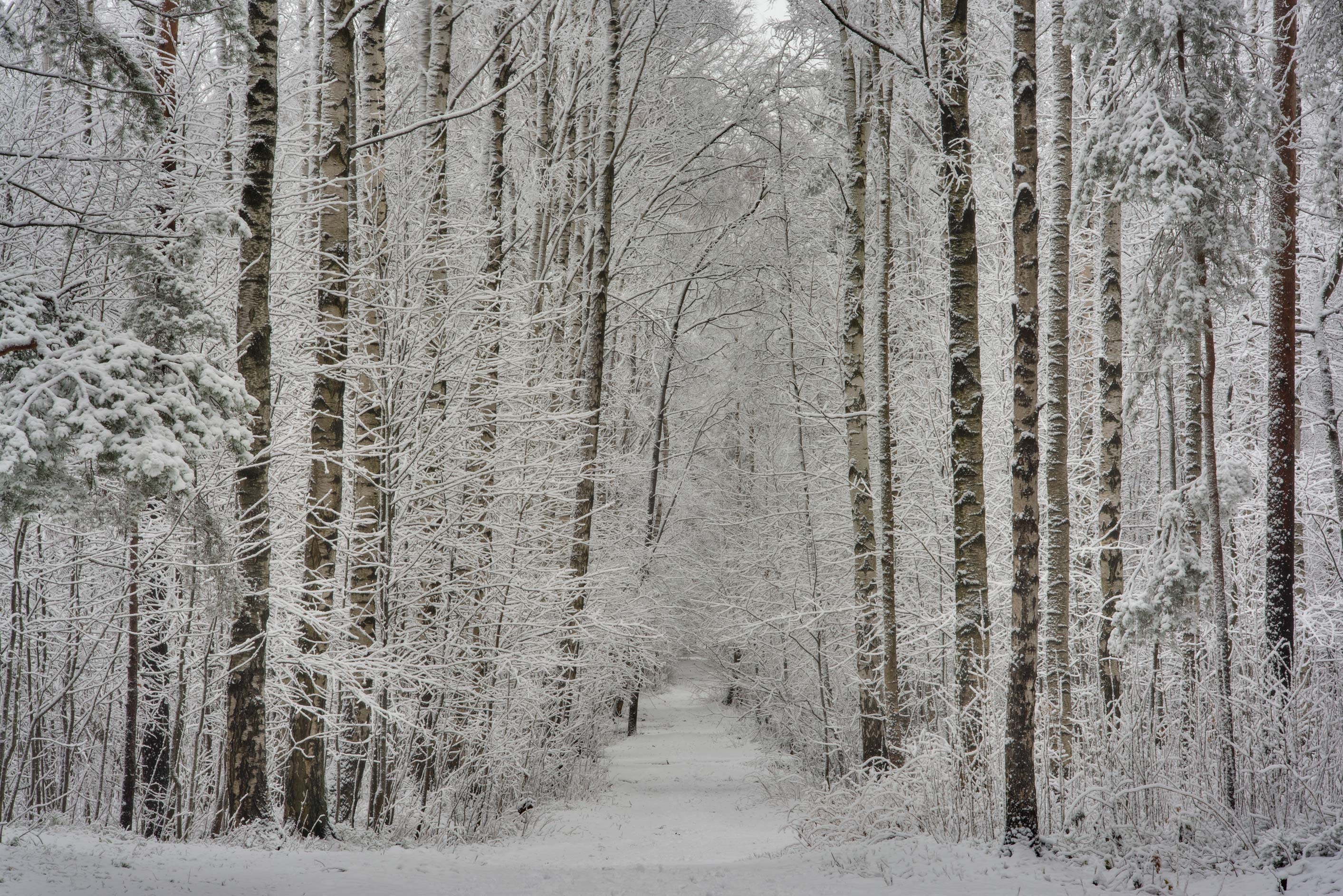 Road in birch forest in fresh snow in Sosnovka Park. St.Petersburg, Russia
