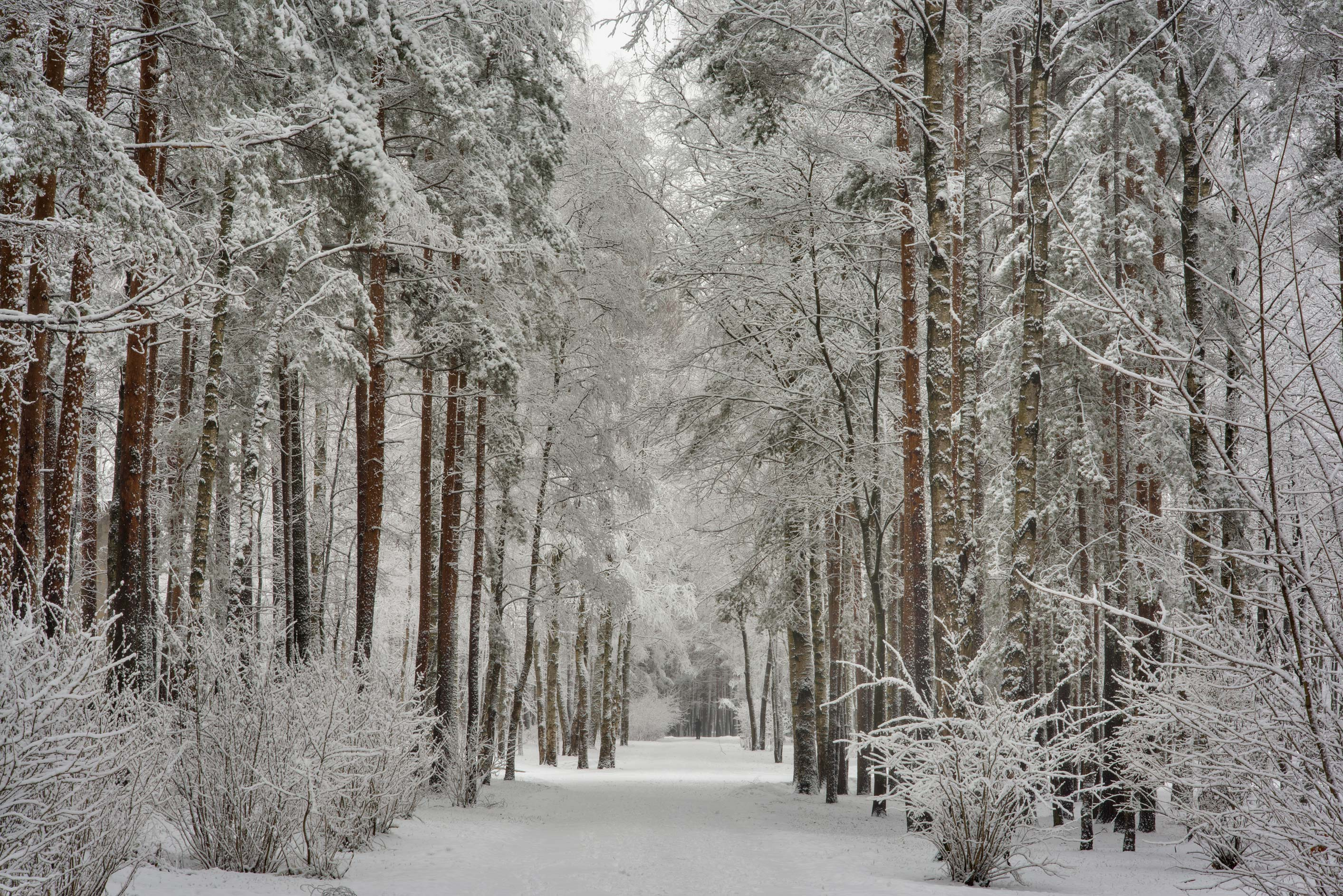 Pine trees in fresh snow in Sosnovka Park. St.Petersburg, Russia