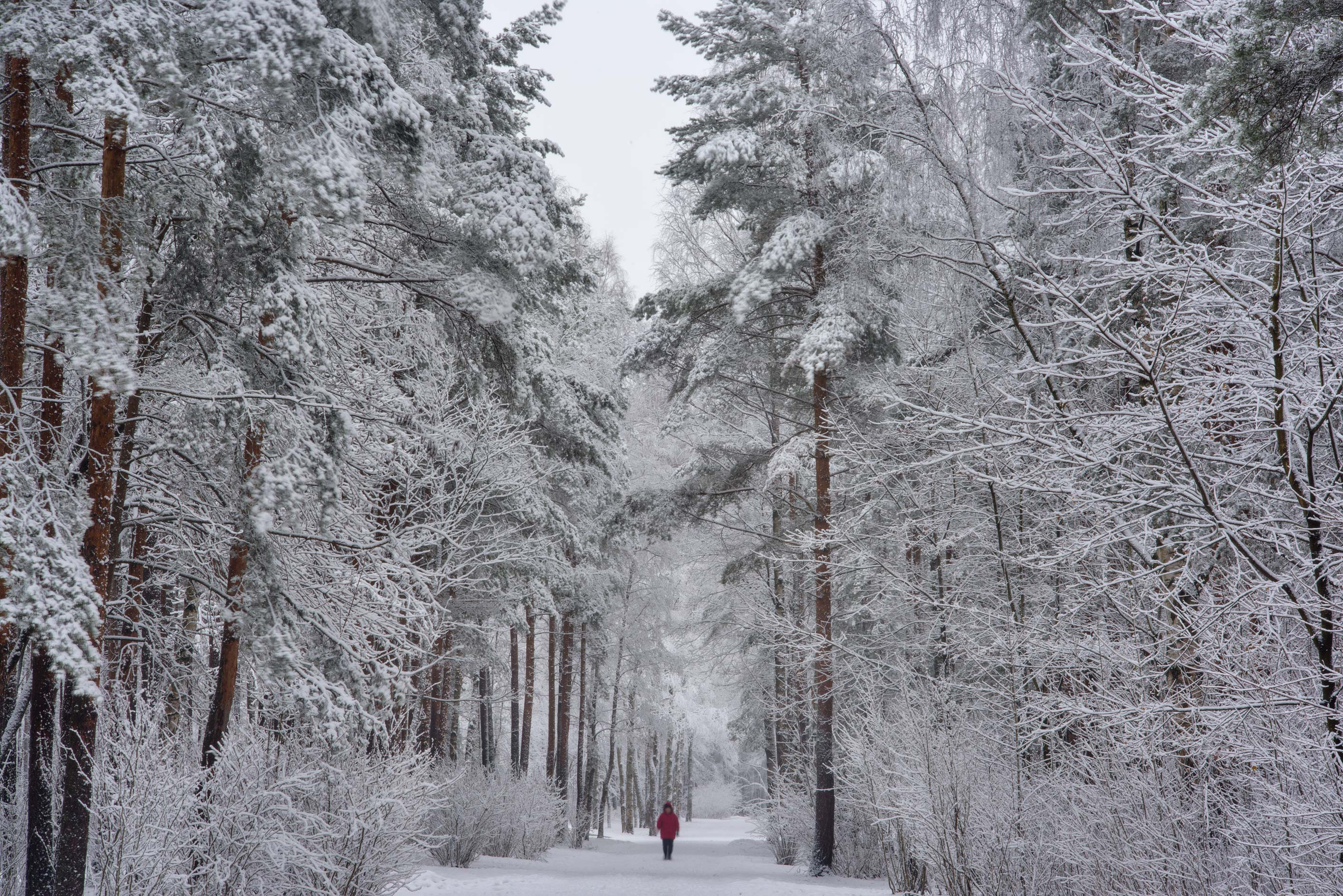 A road in pine forest in Sosnovka Park. St.Petersburg, Russia