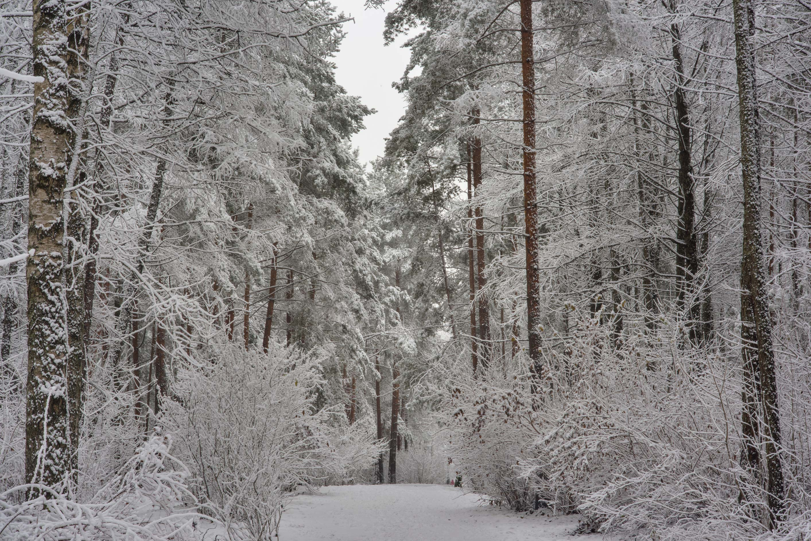 Forest in fresh snow in Sosnovka Park. St.Petersburg, Russia