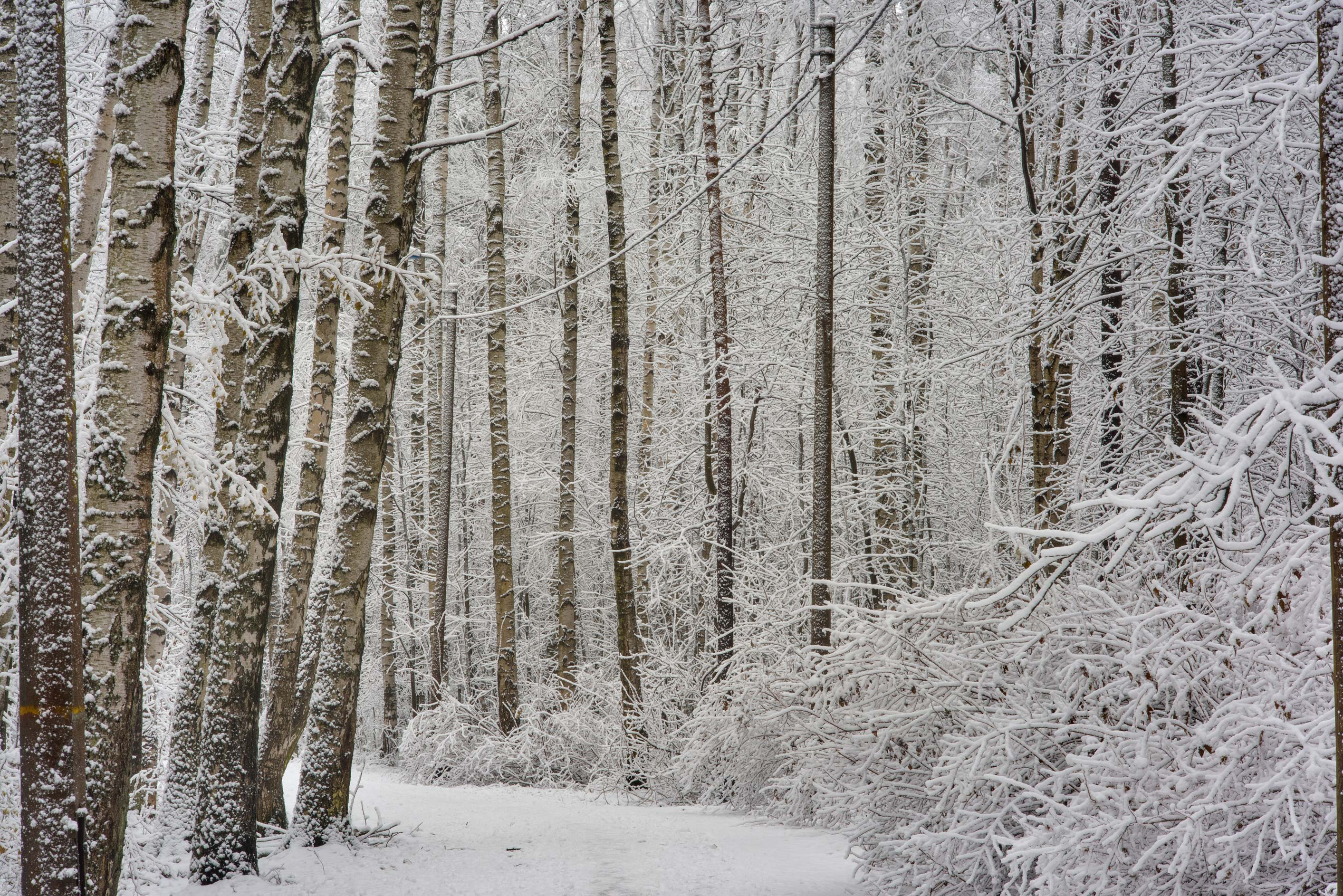 Birch forest in fresh snow in Sosnovka Park. St.Petersburg, Russia