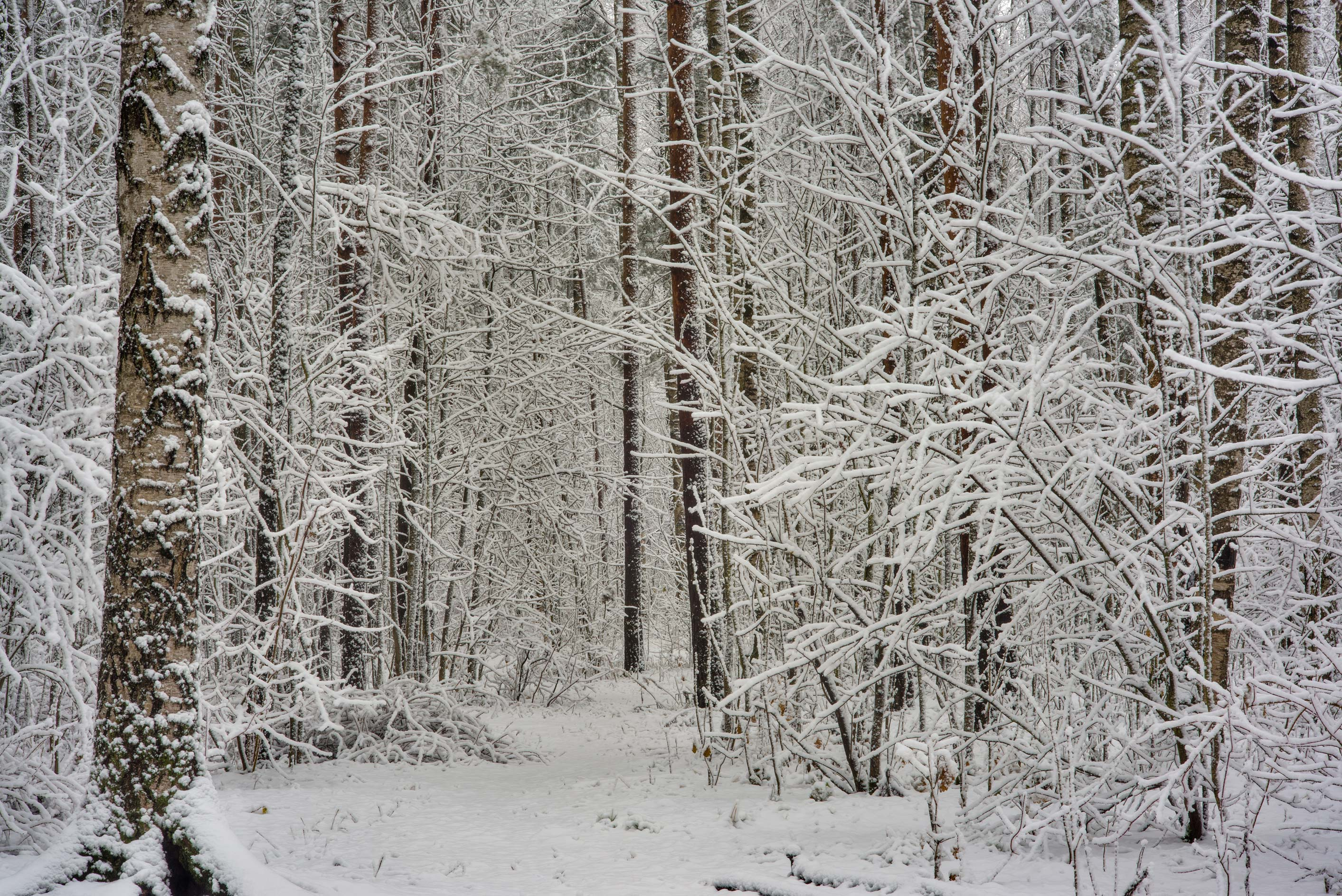 Snowy forest in Sosnovka Park. St.Petersburg, Russia