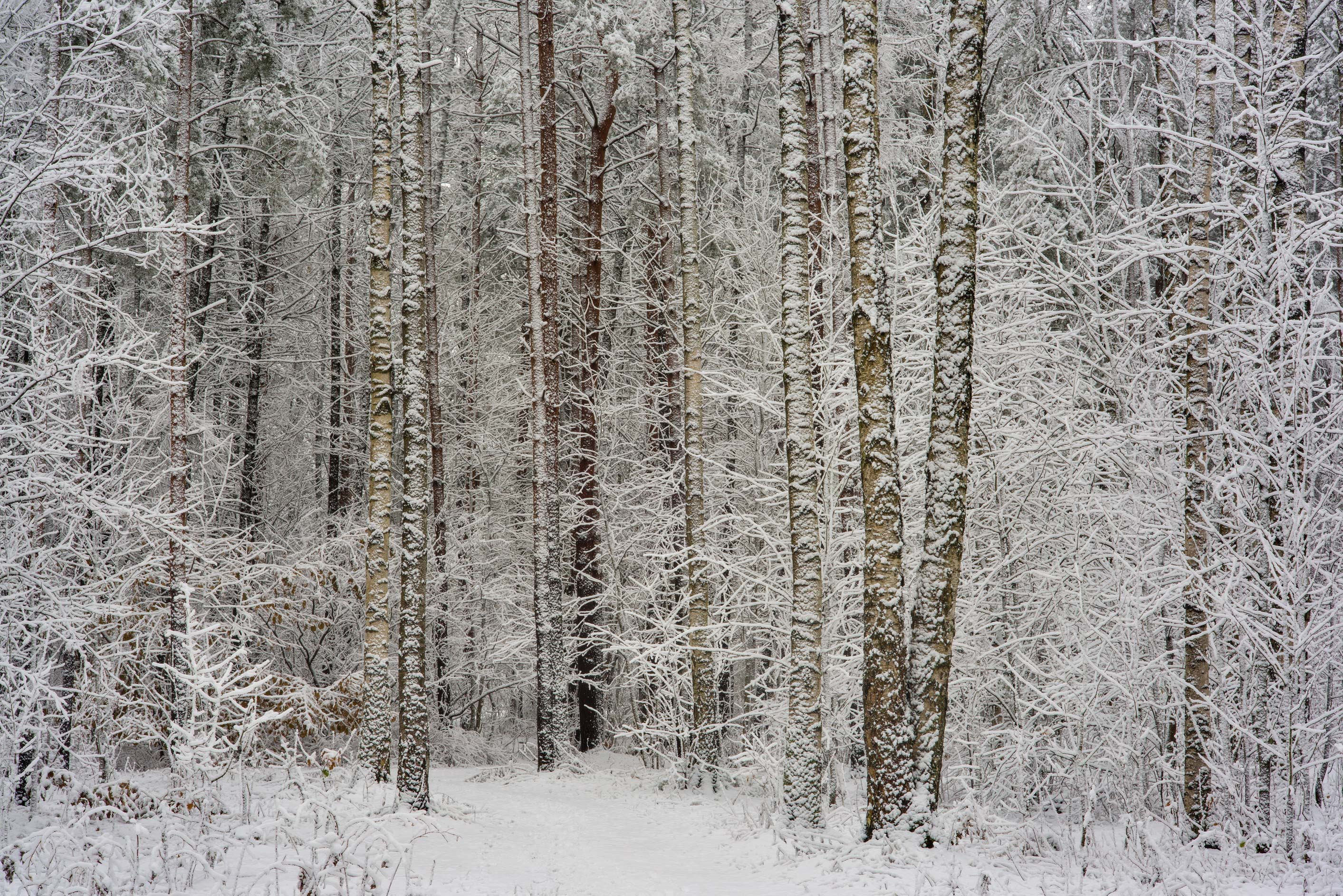 Snowy birch trees in Sosnovka Park. St.Petersburg, Russia