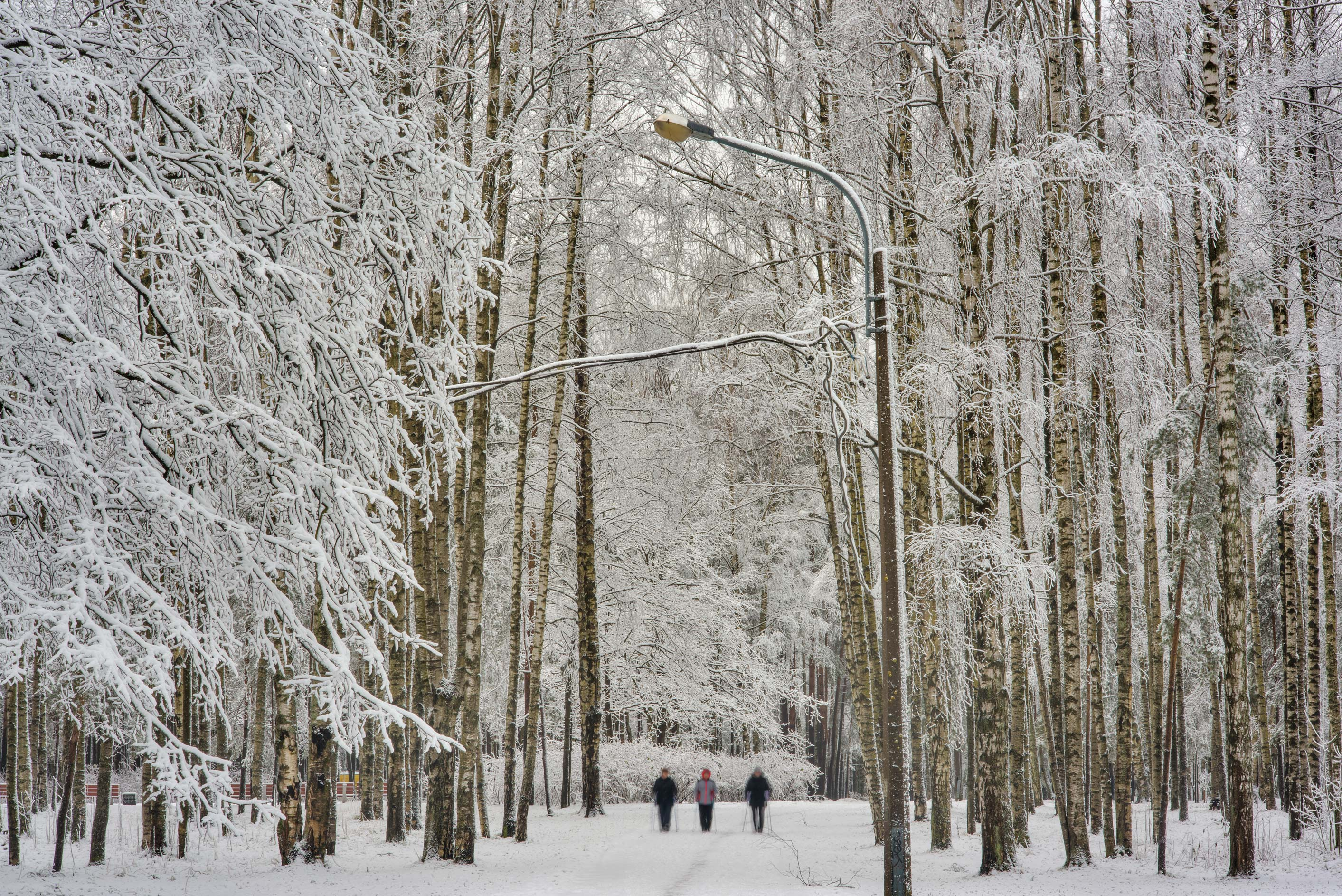Birch forest after snowfall in Sosnovka Park. St.Petersburg, Russia